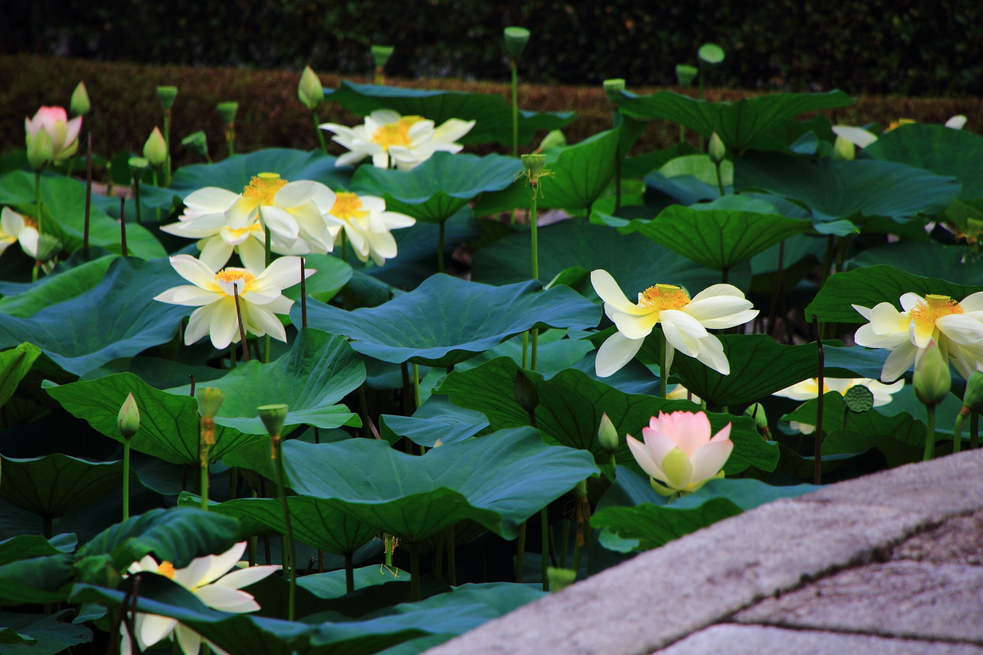 蓮の知名度は高くないハスの穴場の東福寺