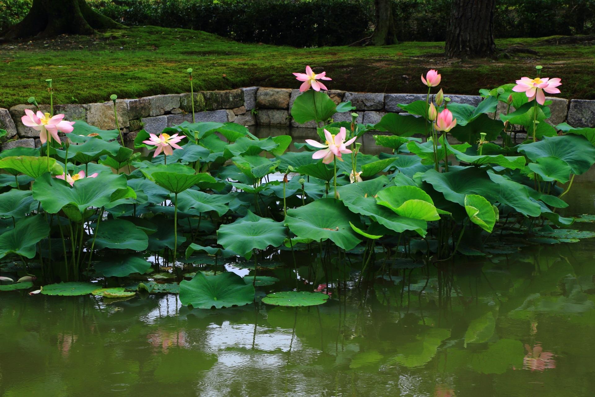 柔らかく癒される色合いの建仁寺の緑の蓮の葉とピンクの蓮の花