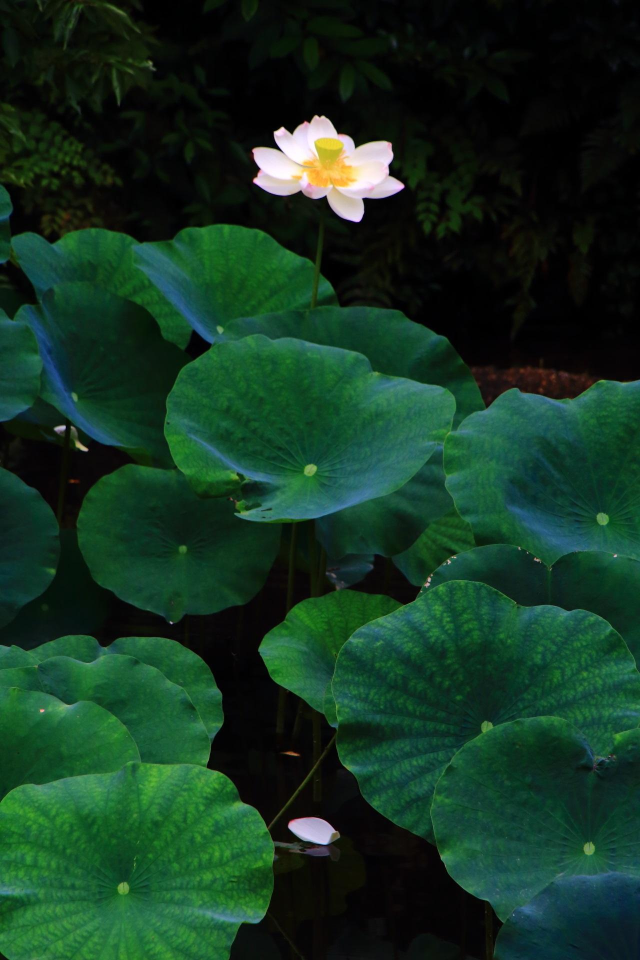 美しい咲いているハスの花と散った花びら