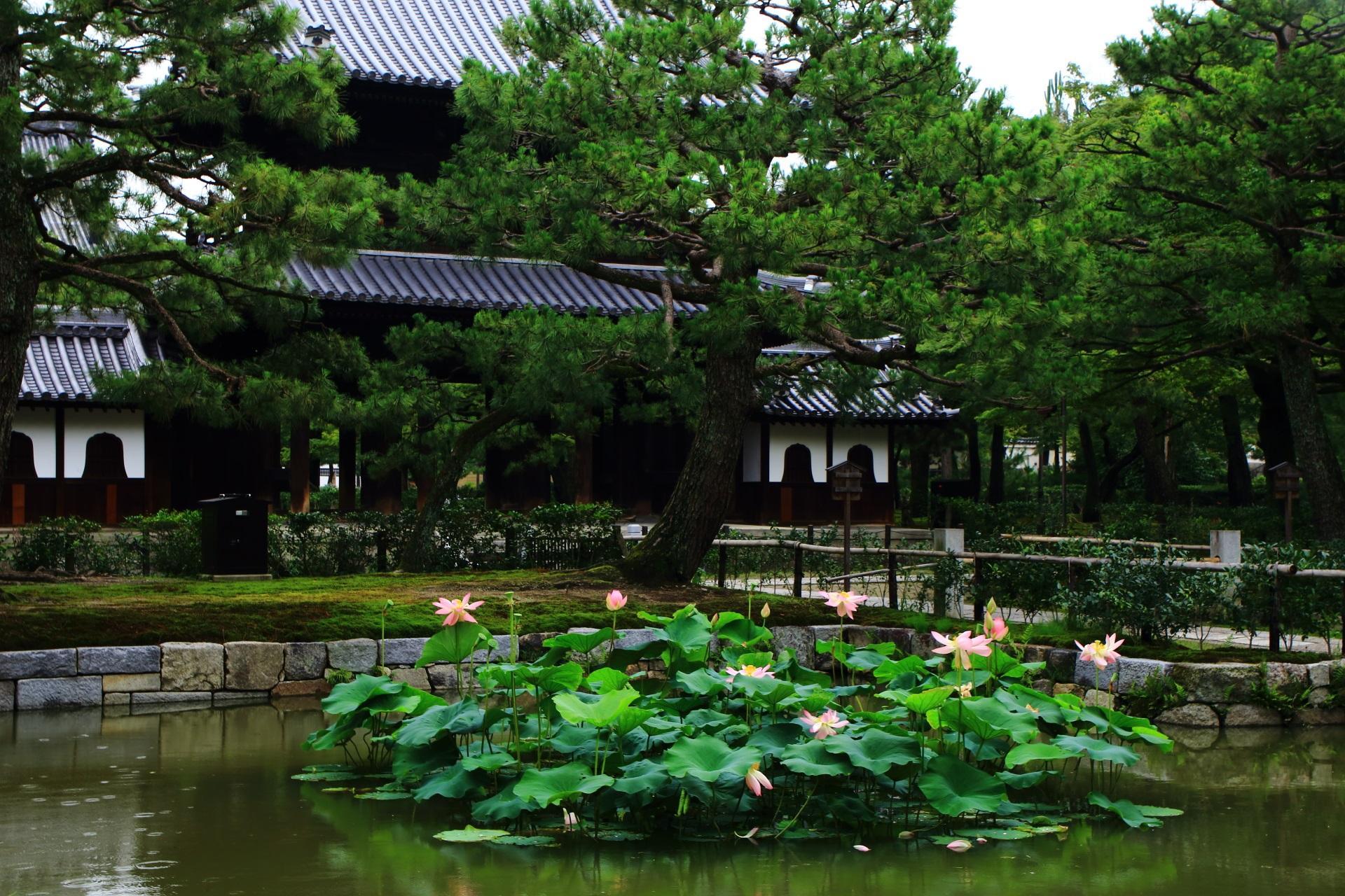 建仁寺の雄大な三門を背景にした蓮池と蓮の花