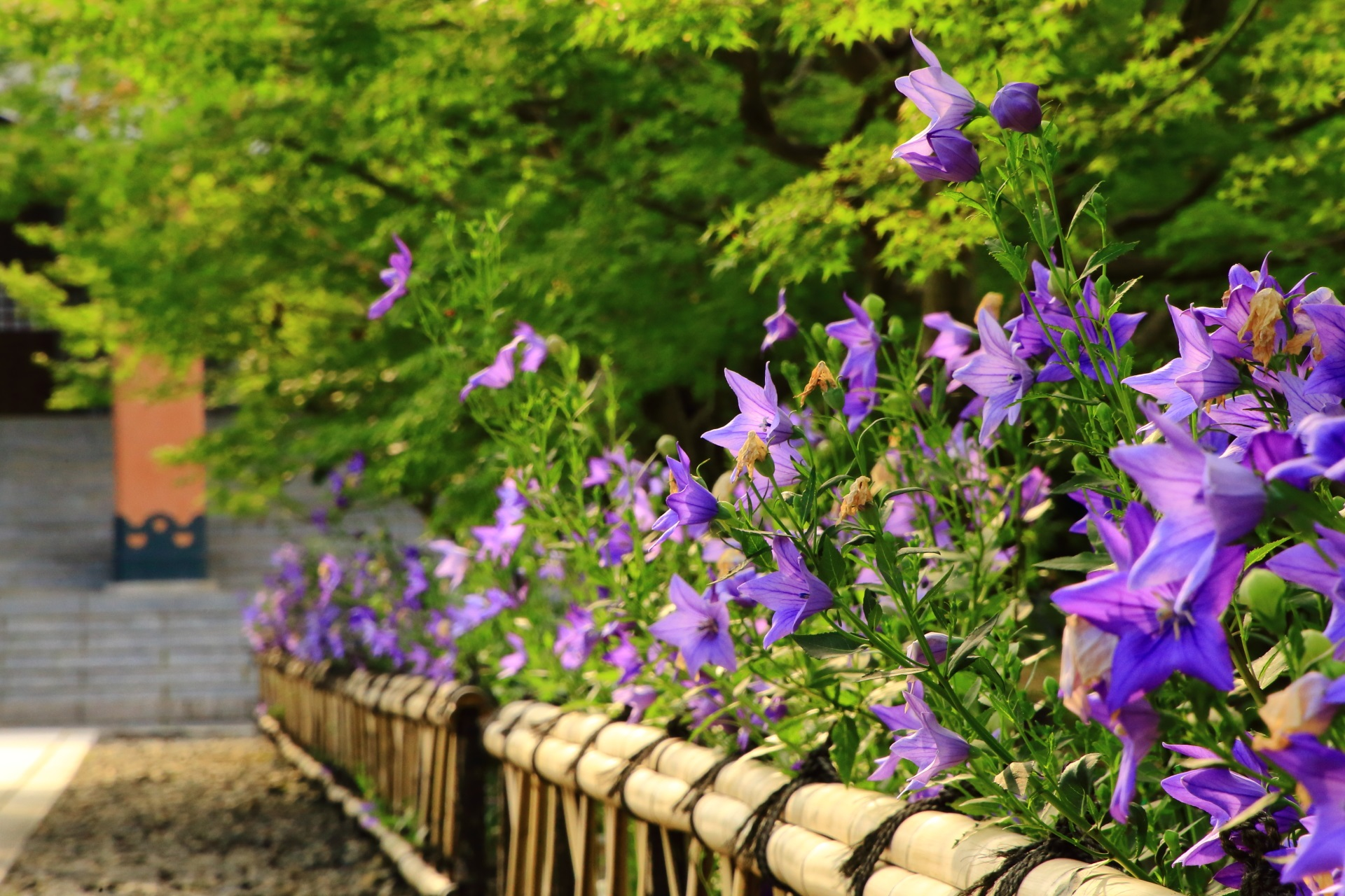 智積院の参道に咲き並ぶ艶やかな色合いの桔梗の花