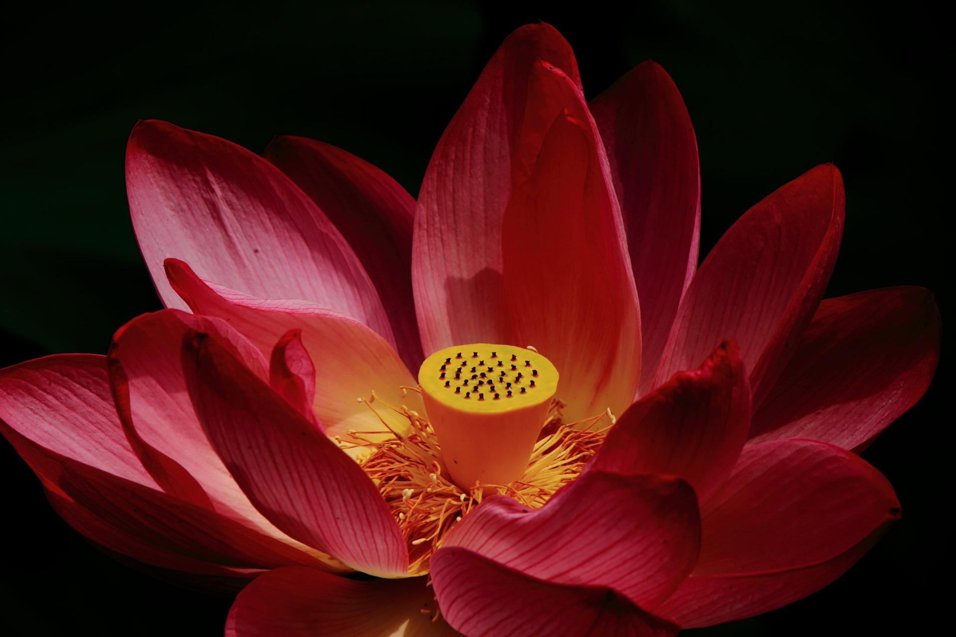 コントラスト強めの雰囲気が変わるハスの花