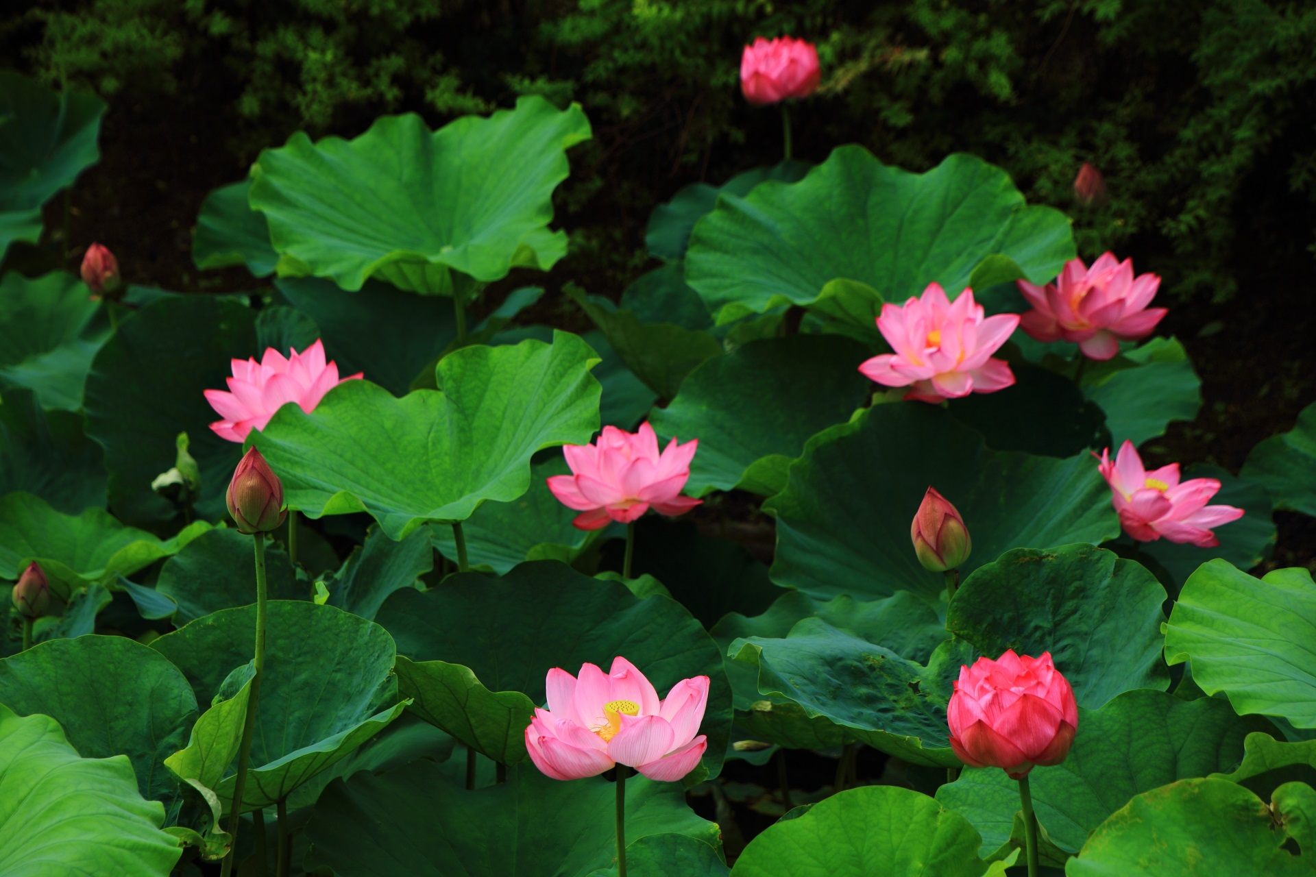 たくさんの数の花が一気に咲く当たり年の東寺の蓮