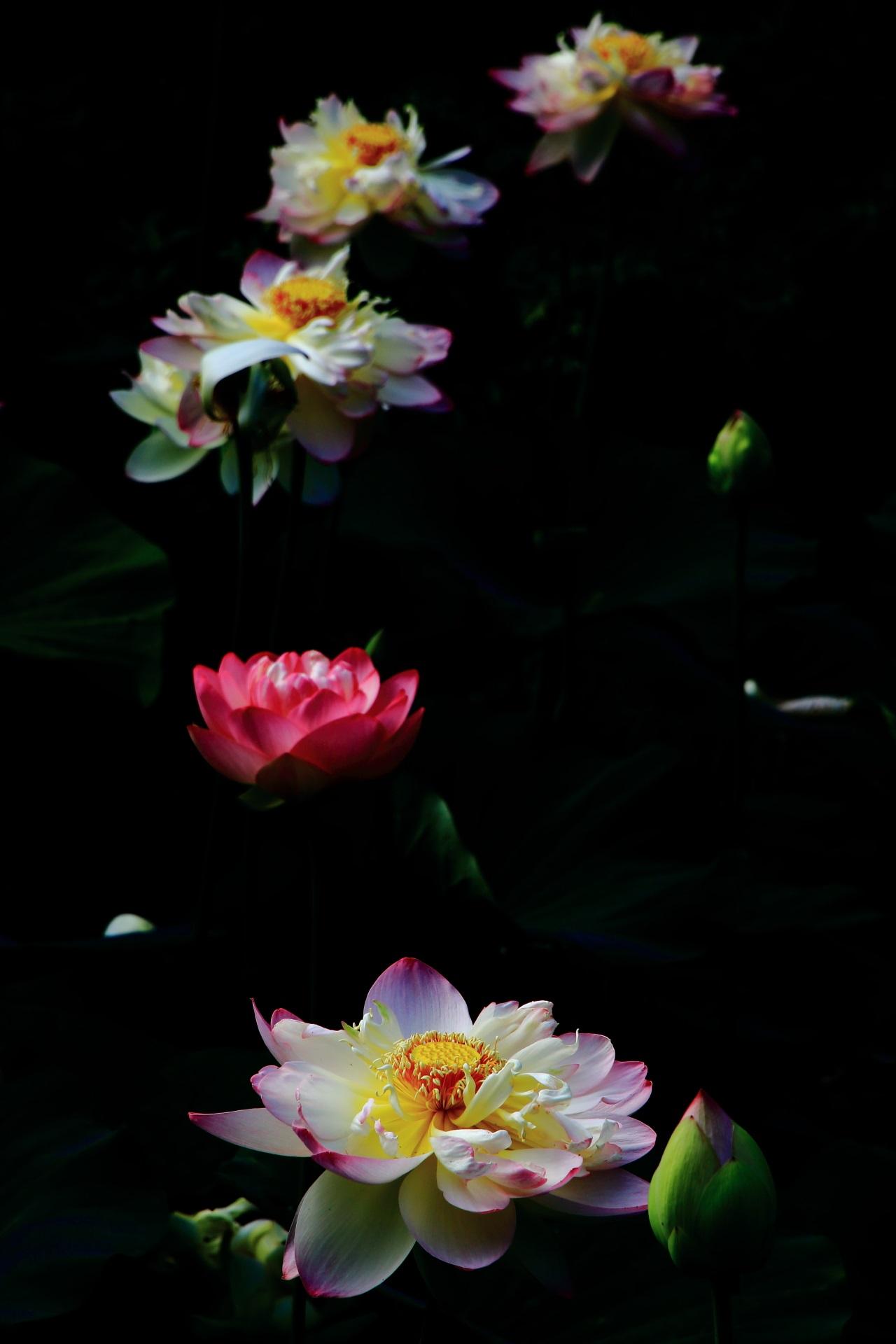 智積院の光る幻想的な蓮の花