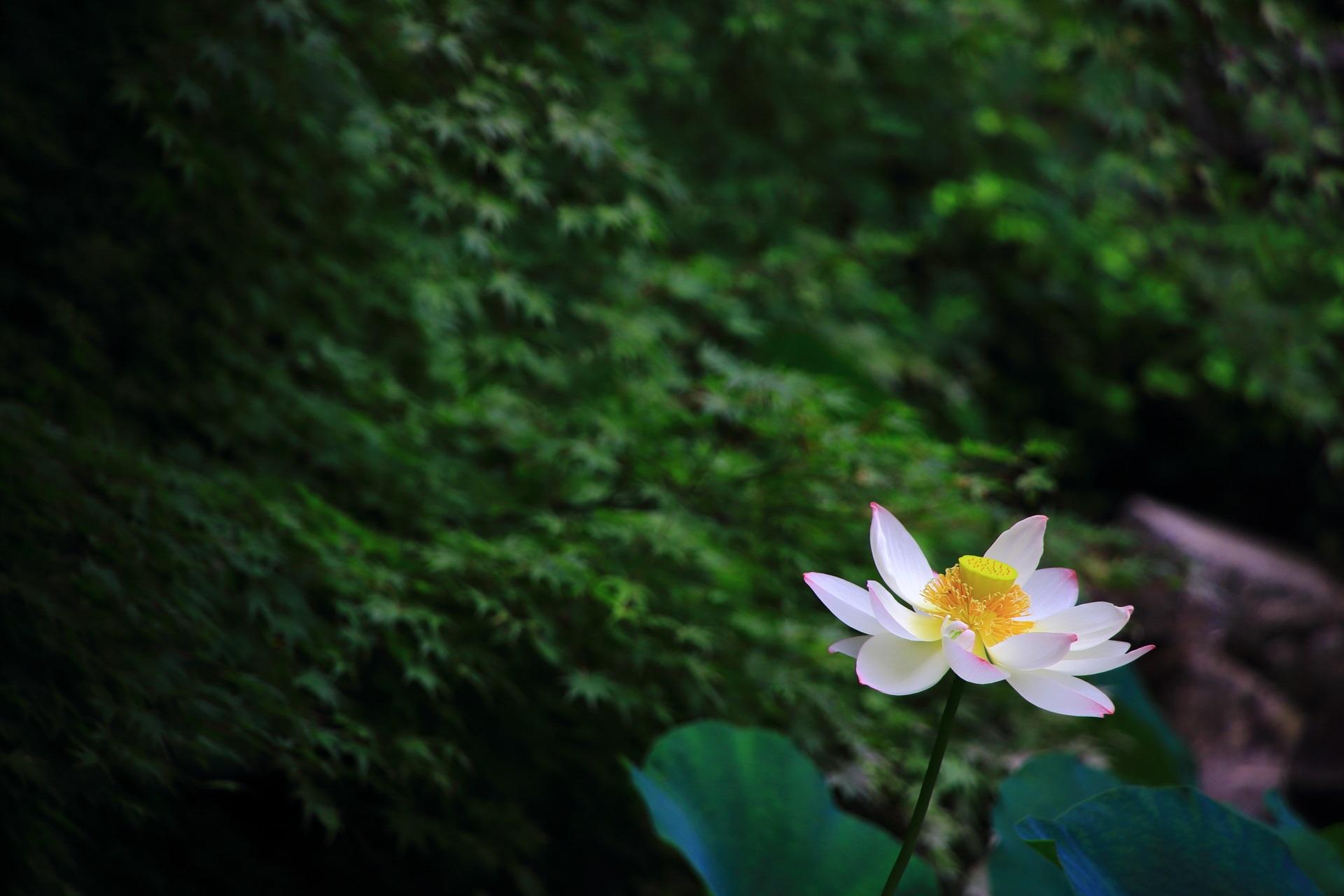 青もみじに美しさを引き立てられるハスの花