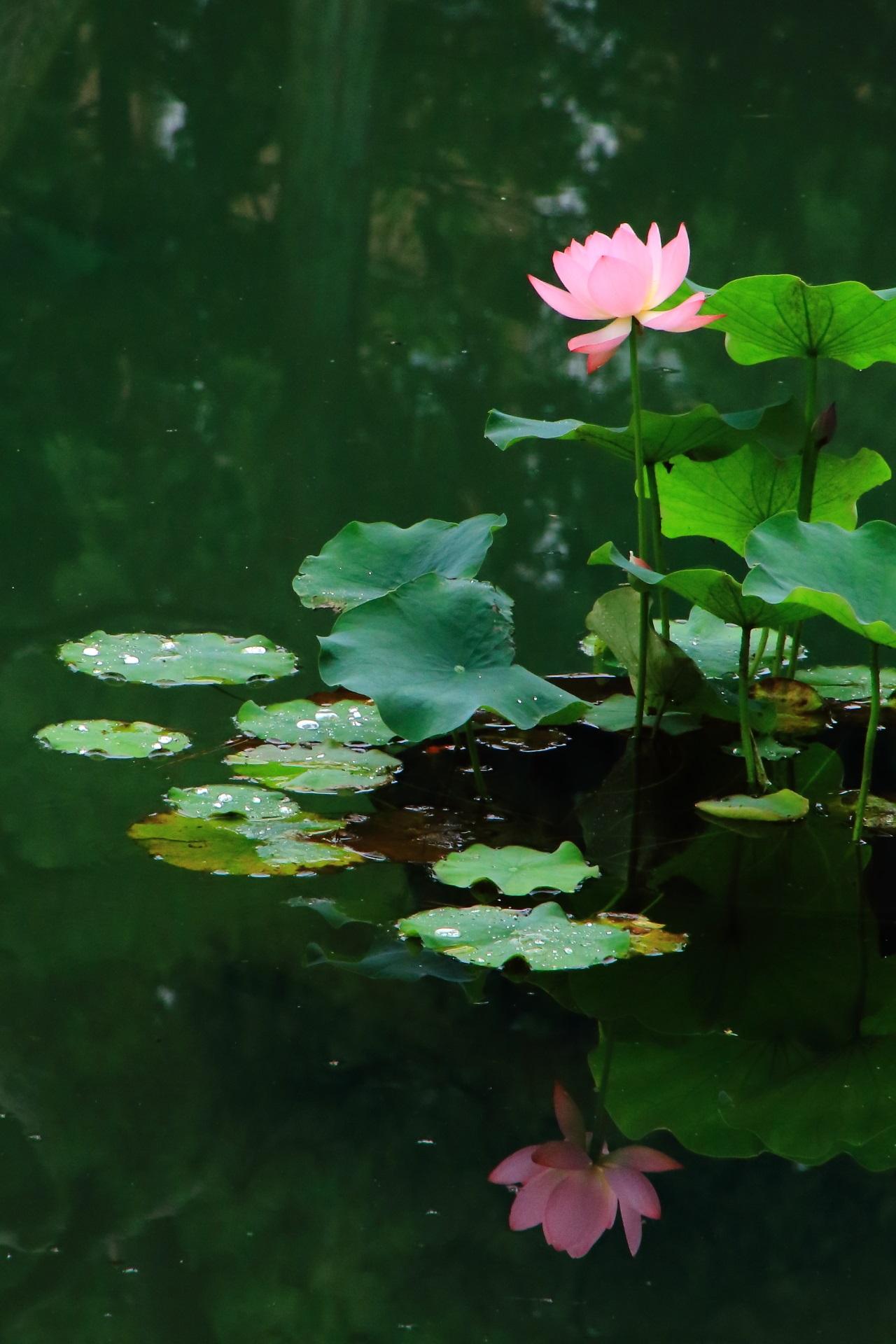 相国寺の美しく上品な蓮の花