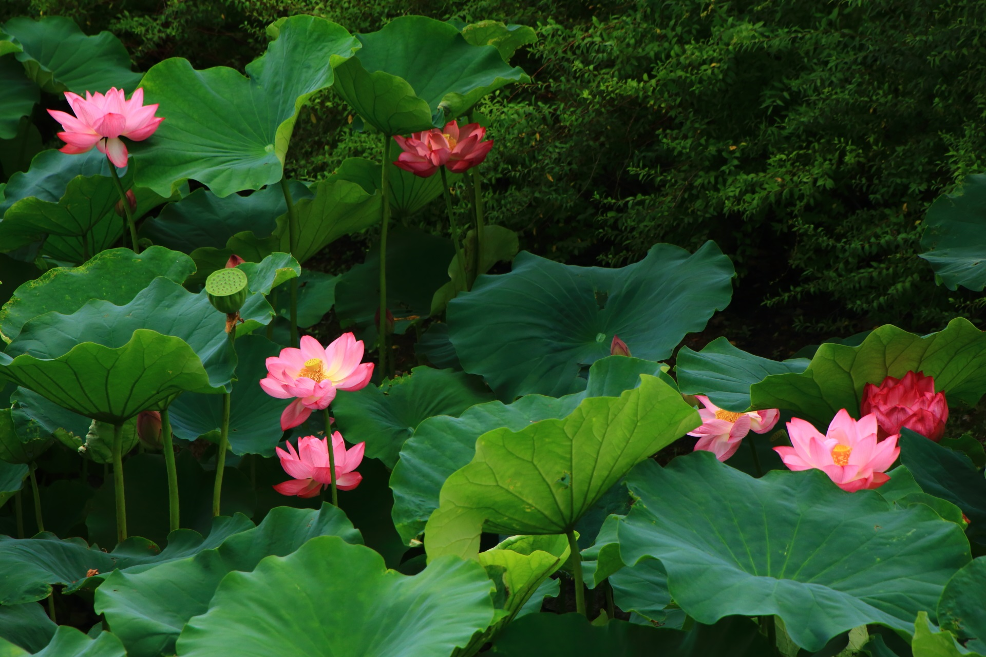 優雅に咲き誇る華やかな蓮の花たち