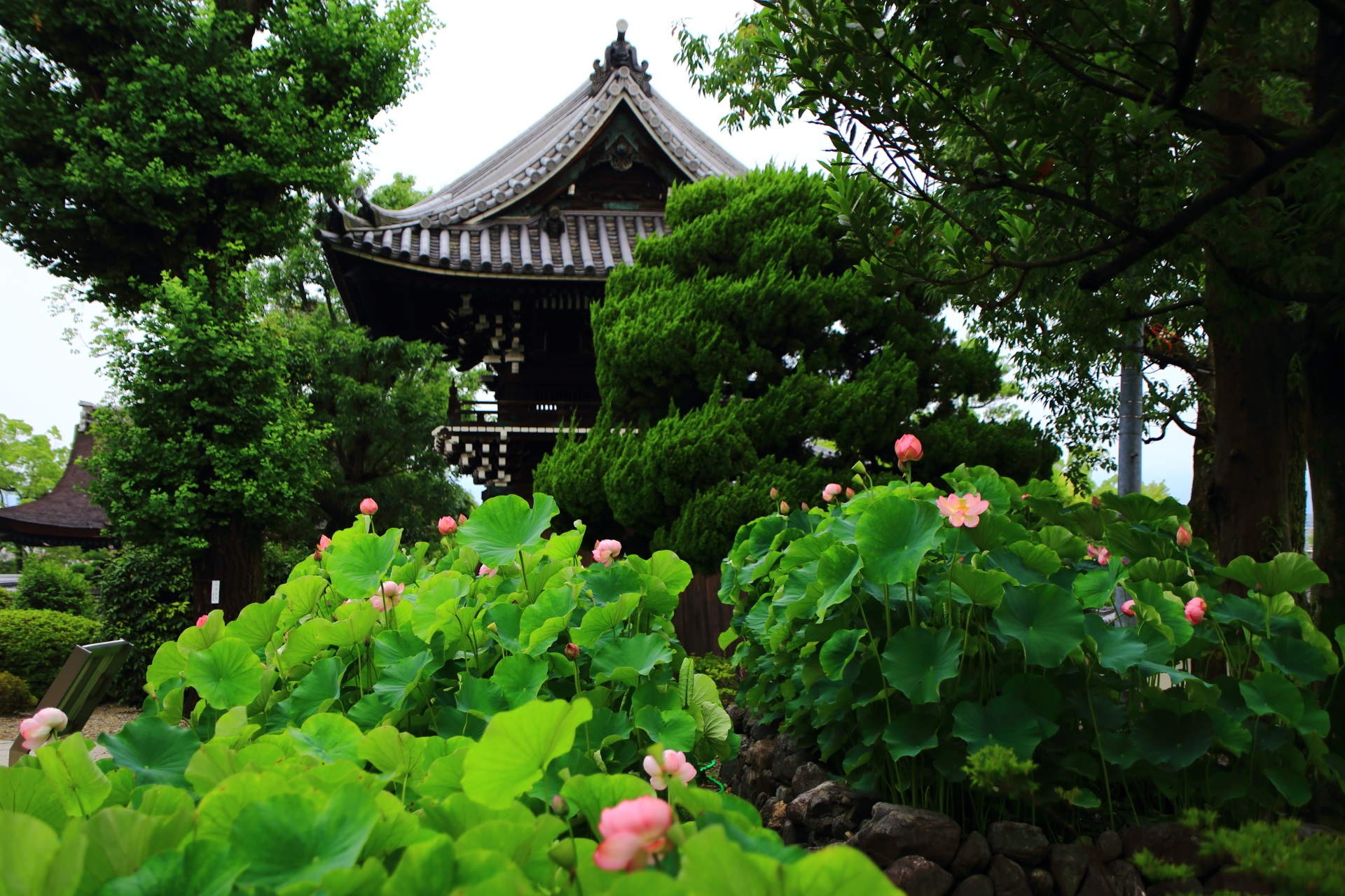 鐘楼と少し開花が進む古代の蓮