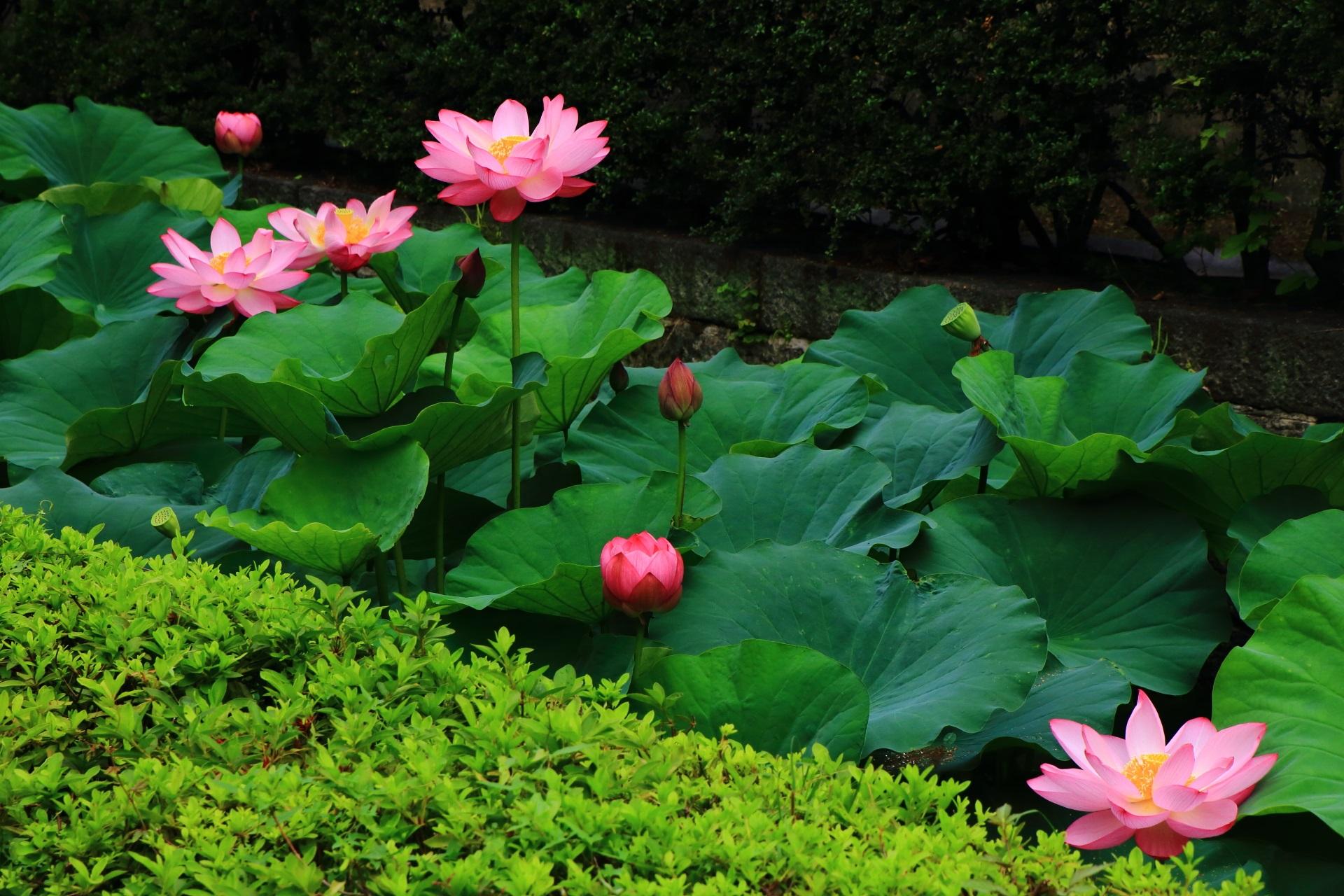 東本願寺 蓮 お堀を彩る華やかな蓮の花