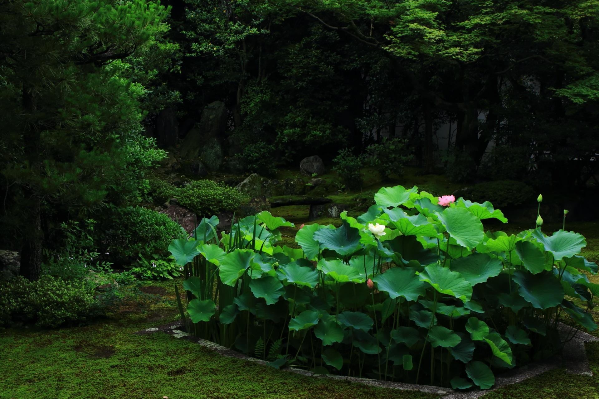 本法寺 蓮 巴の庭を彩る華やかな蓮の花