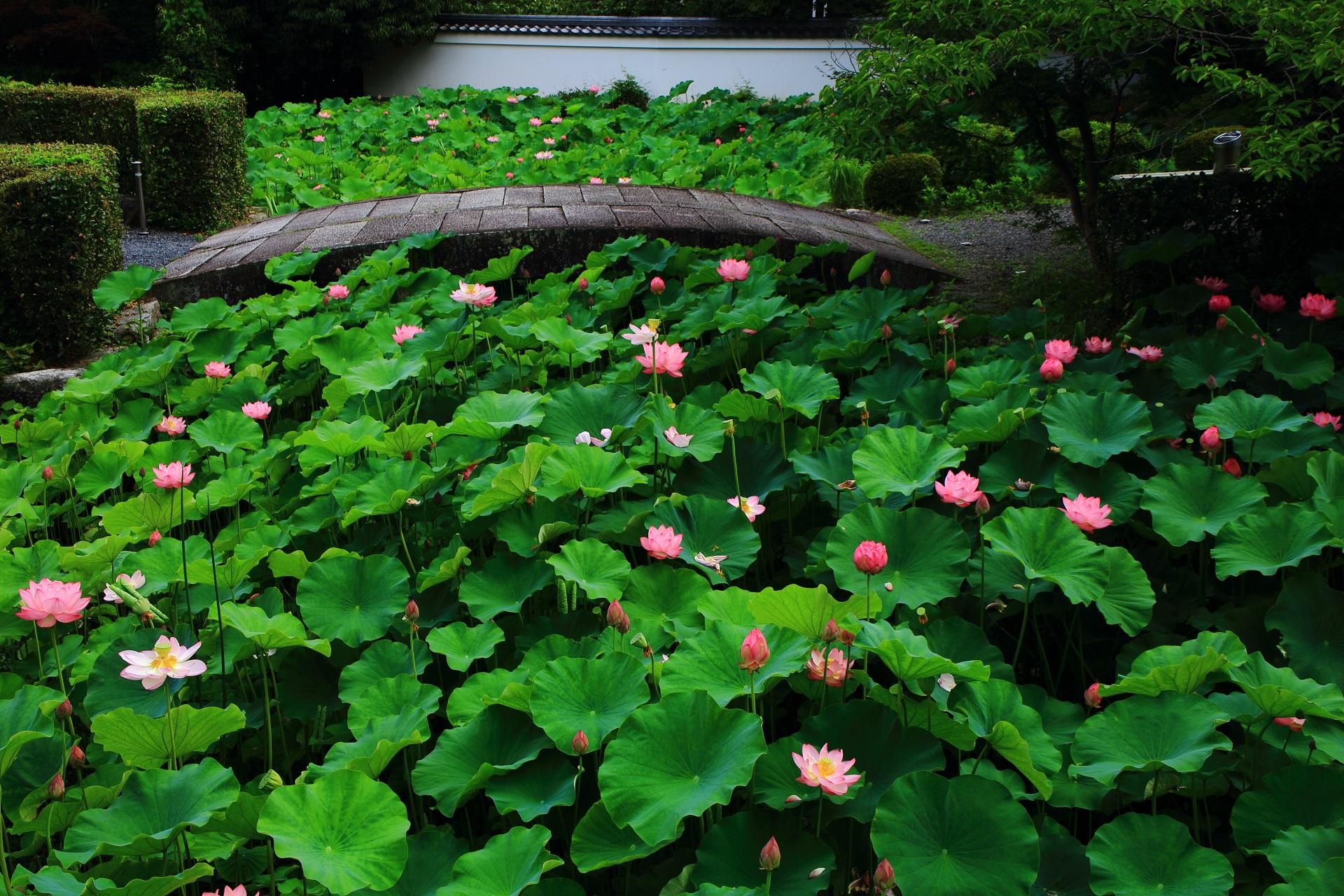 南禅寺 蓮 名所の片隅で咲くハスの花