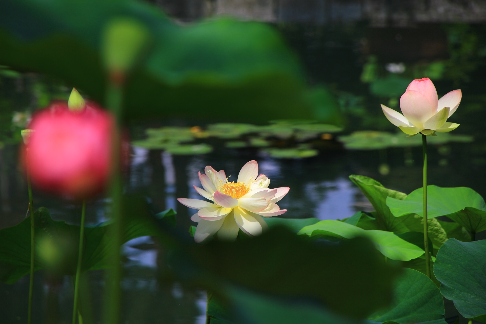 相国寺 蓮 水辺に華やぐ上品な蓮の花