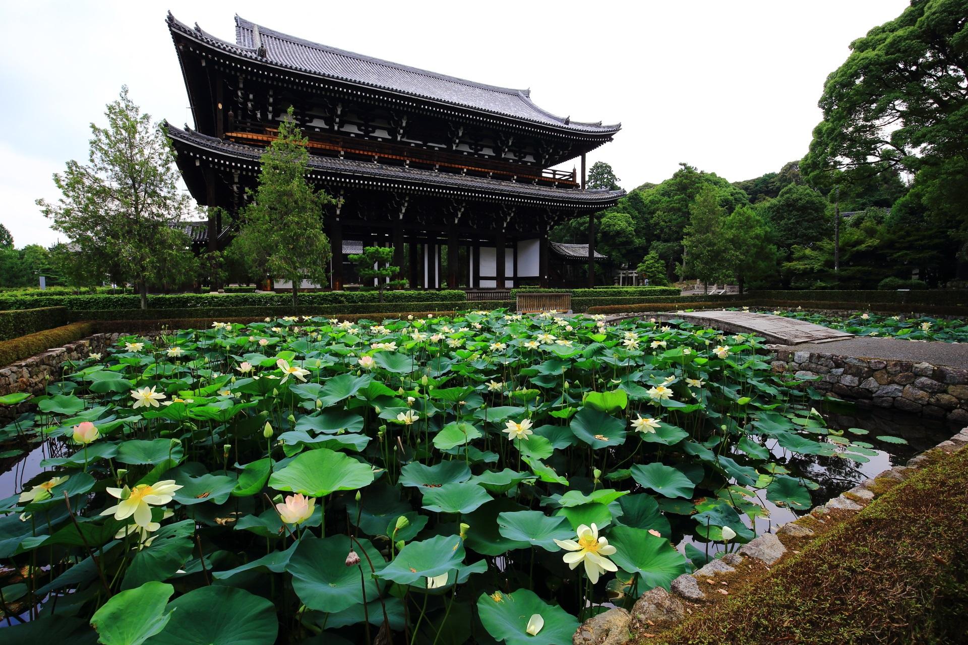 東福寺 蓮 三門前に広がる華やかなハスの花
