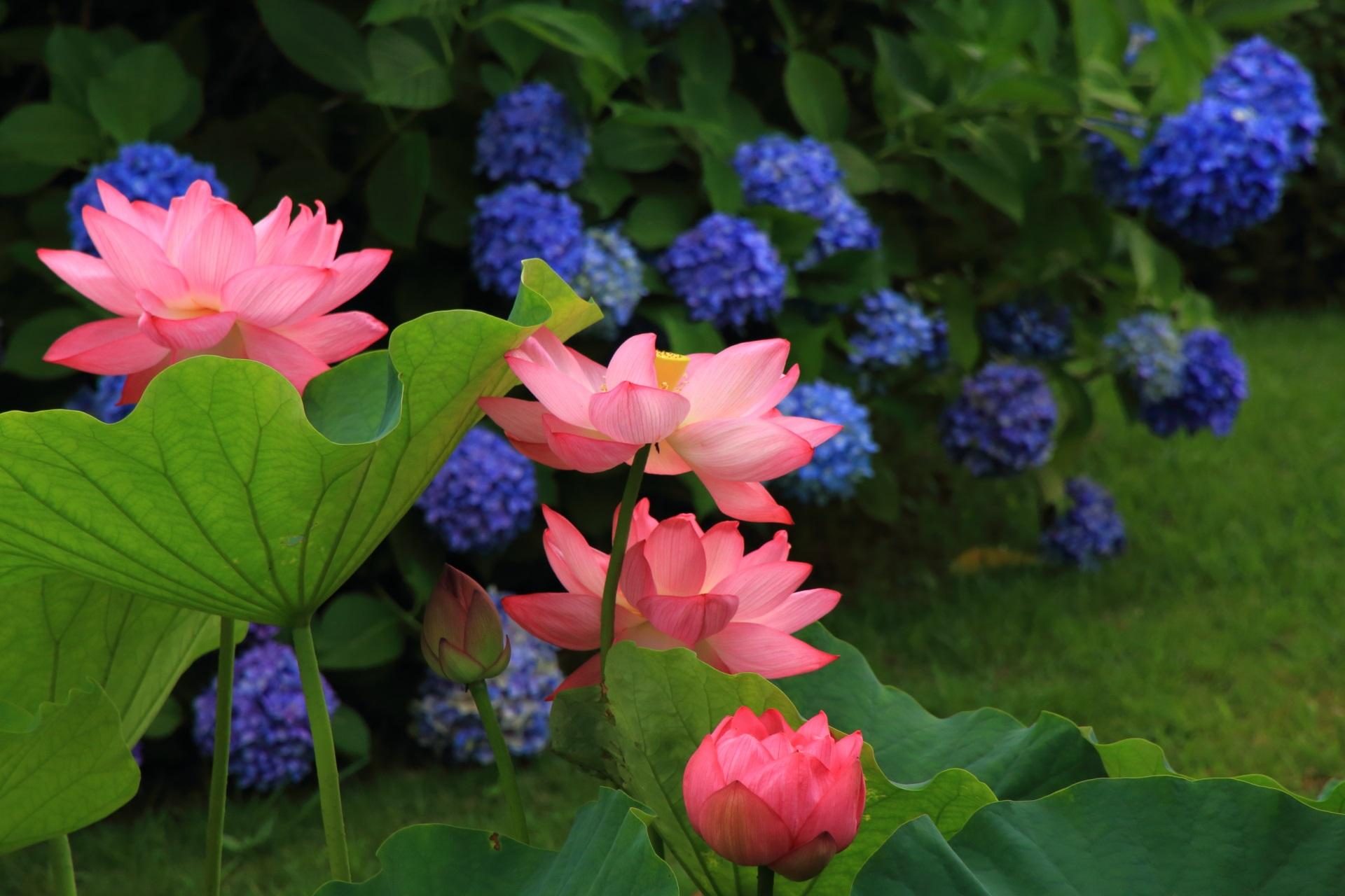 東寺 蓮 華やかな夏の彩りと紫陽花