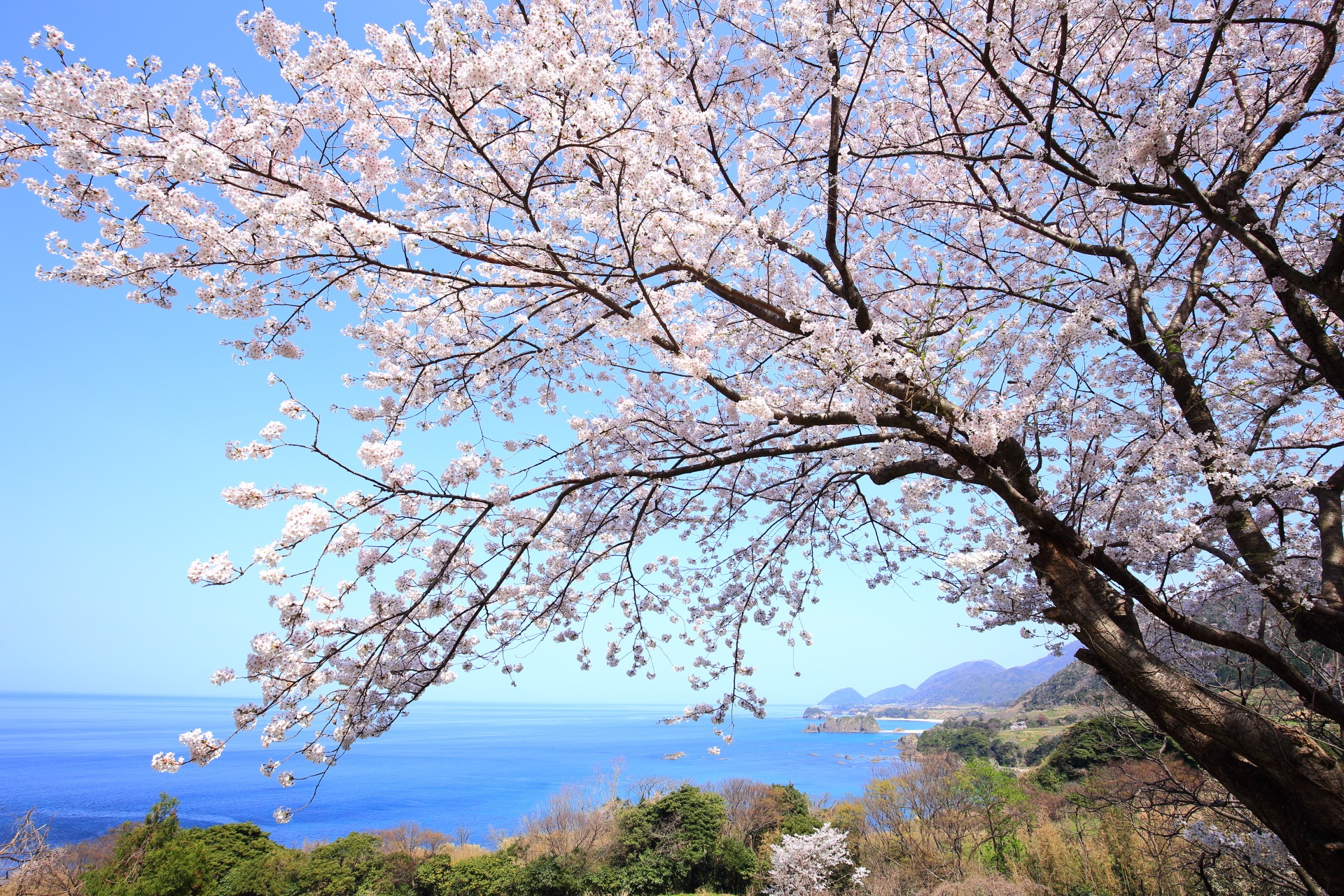 丹後松島 桜