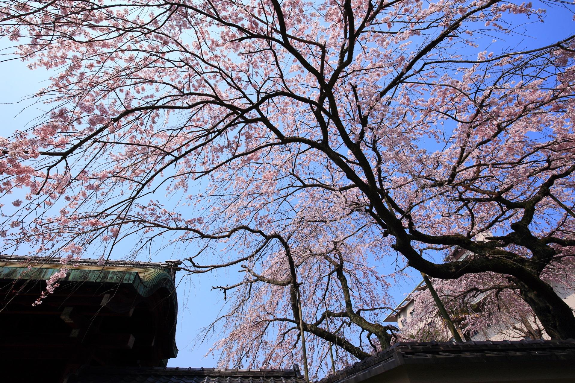 平安女学院 有栖館 桜 青空を覆う圧巻のしだれ桜