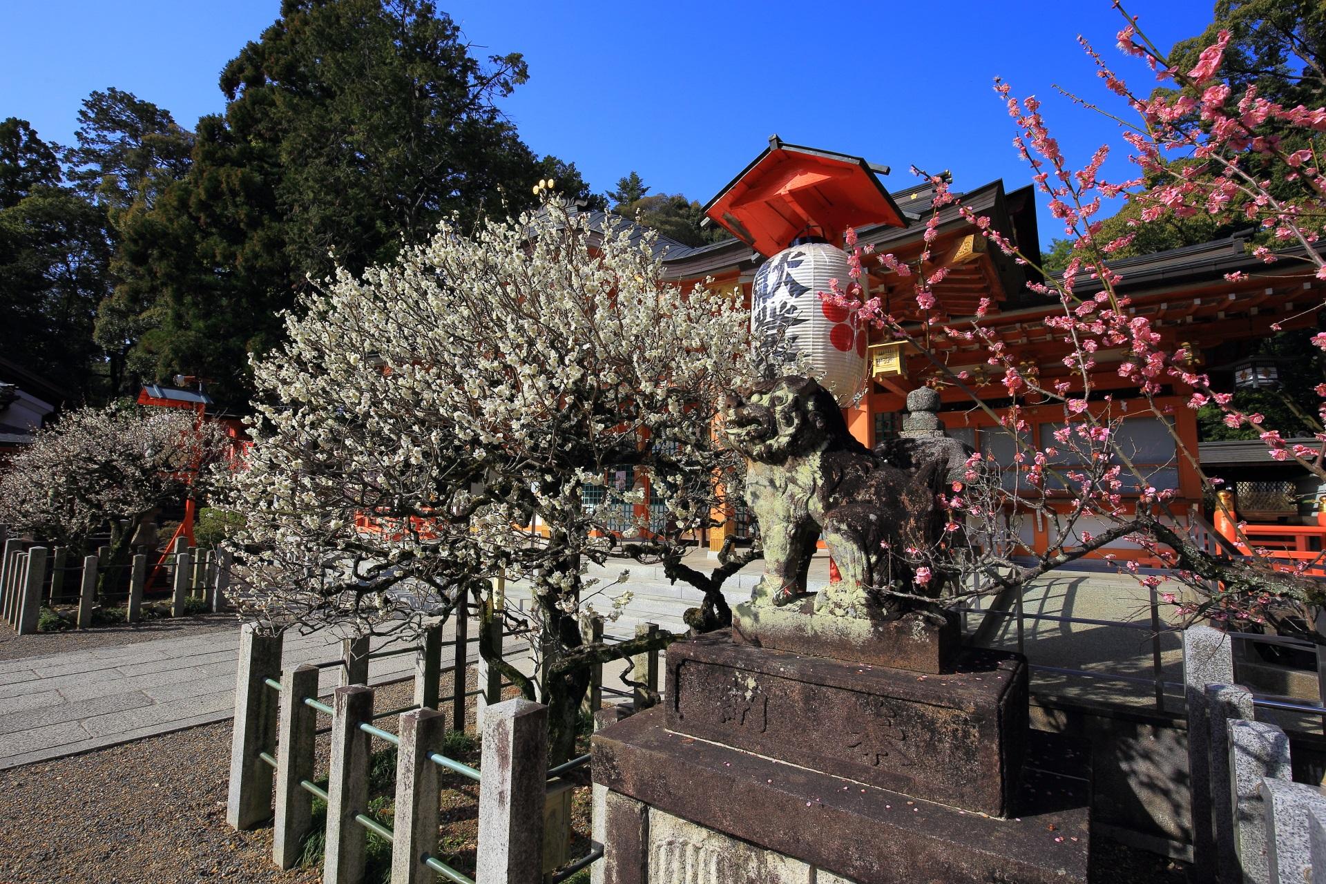 弾けんばかりに咲き誇る白梅と狛犬と彩りそえるピンクの梅