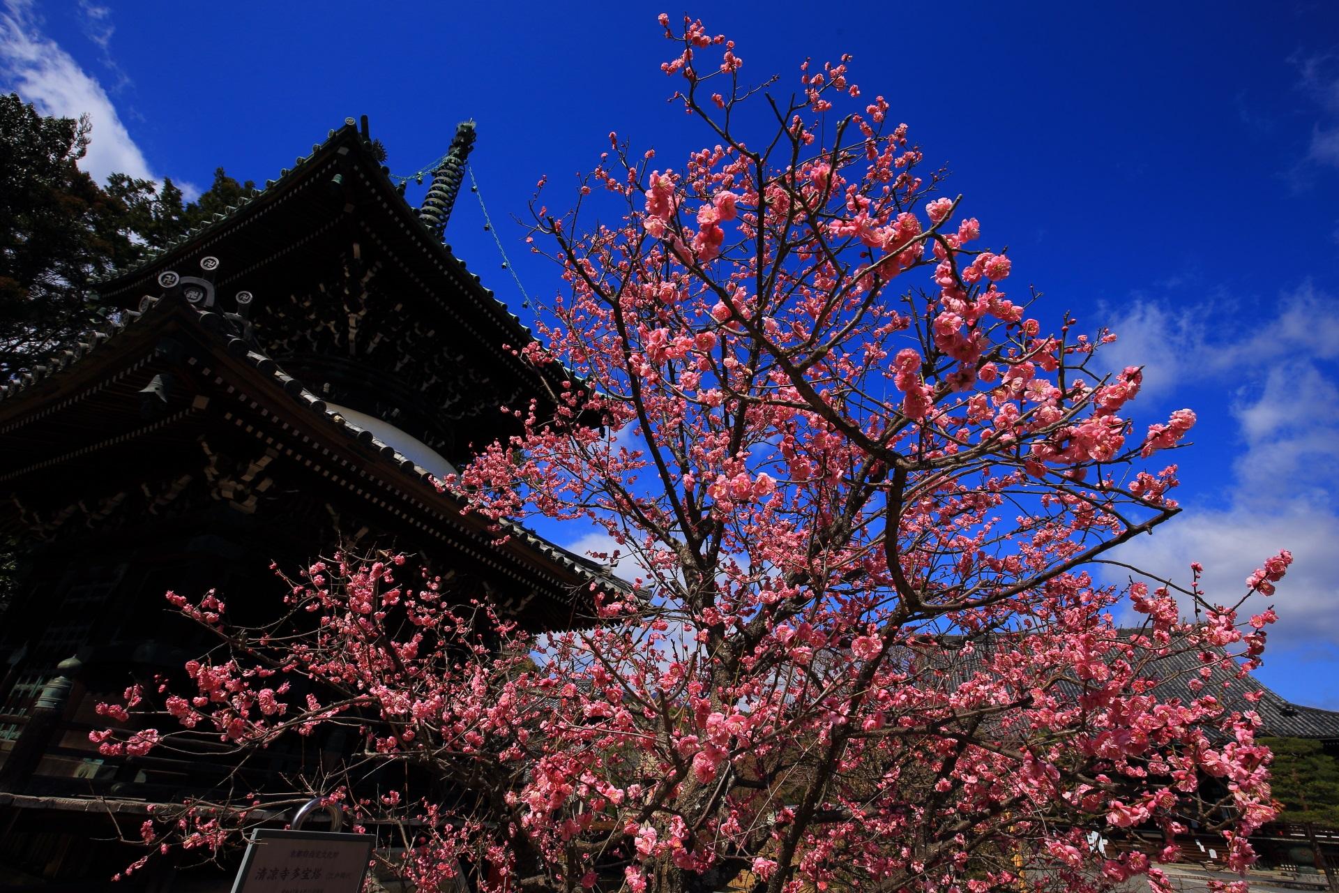 清涼寺の伽藍を彩る絶品の煌びやかな梅
