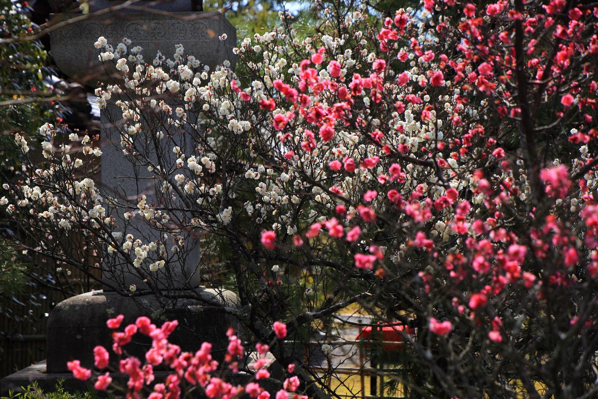 日が差すと輝くピンクと白のボールのようになる梅の花