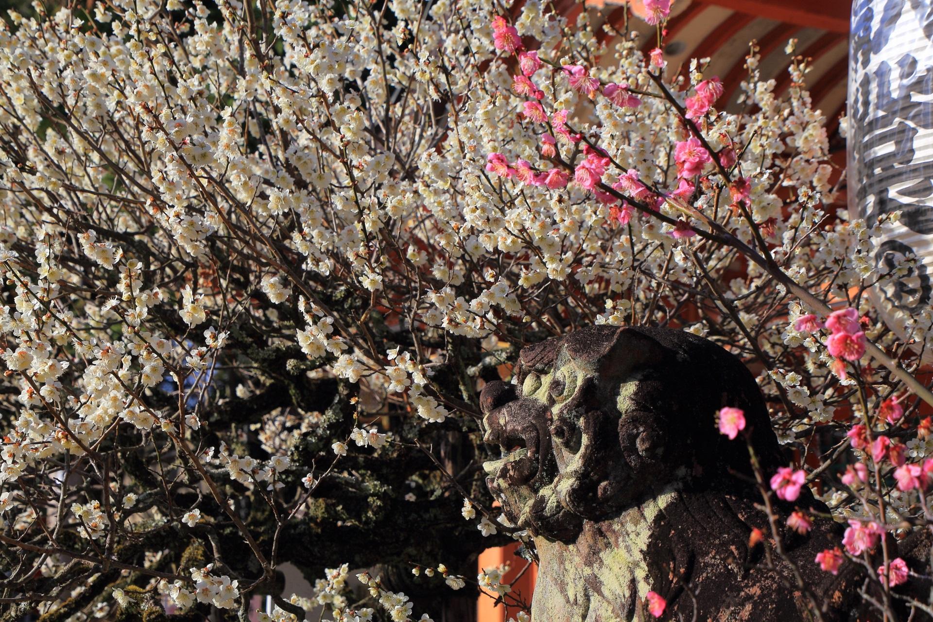 華やかな白い梅とピンクの梅につつまれる長岡天満宮の狛犬さん