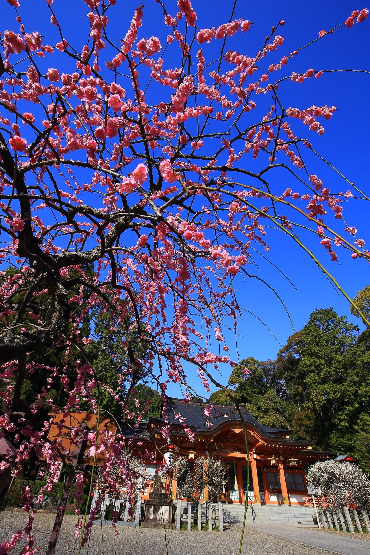長岡天満宮の素晴らしい梅と春先の情景