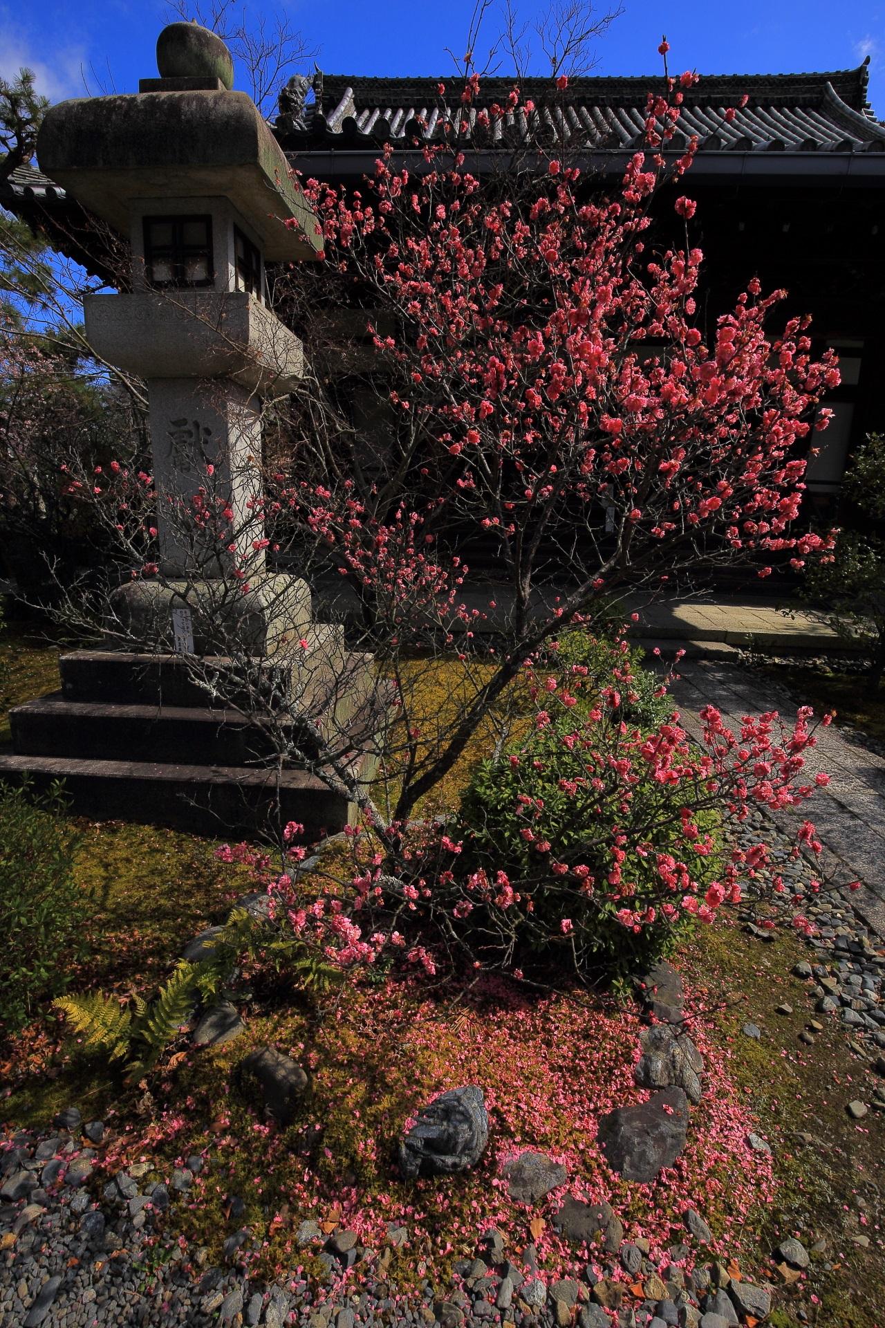 阿弥陀堂を彩る鮮やかな梅の花と散ったピンクの花びら