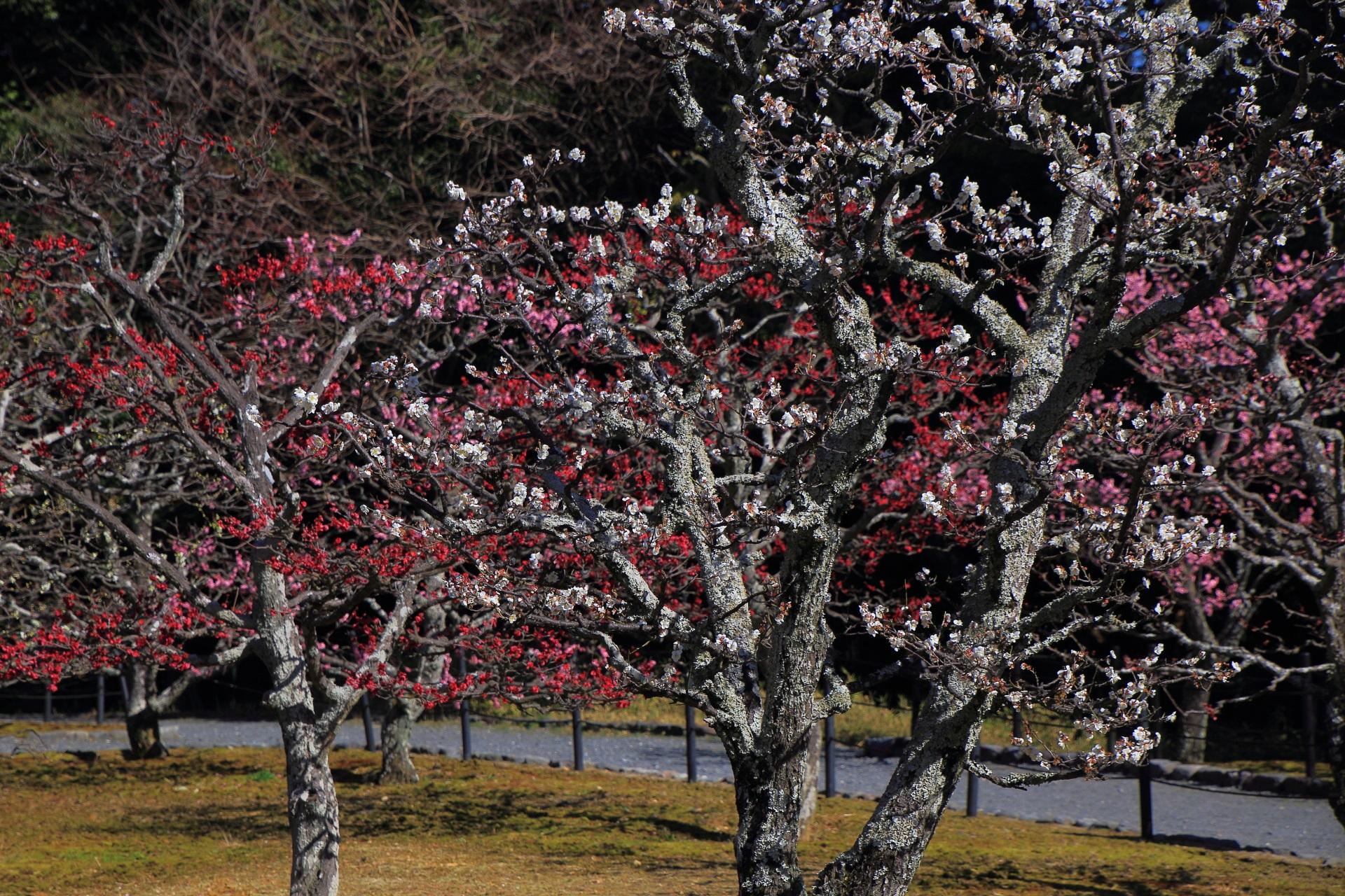 趣きある幹や枝に色とりどりの花が咲く梅