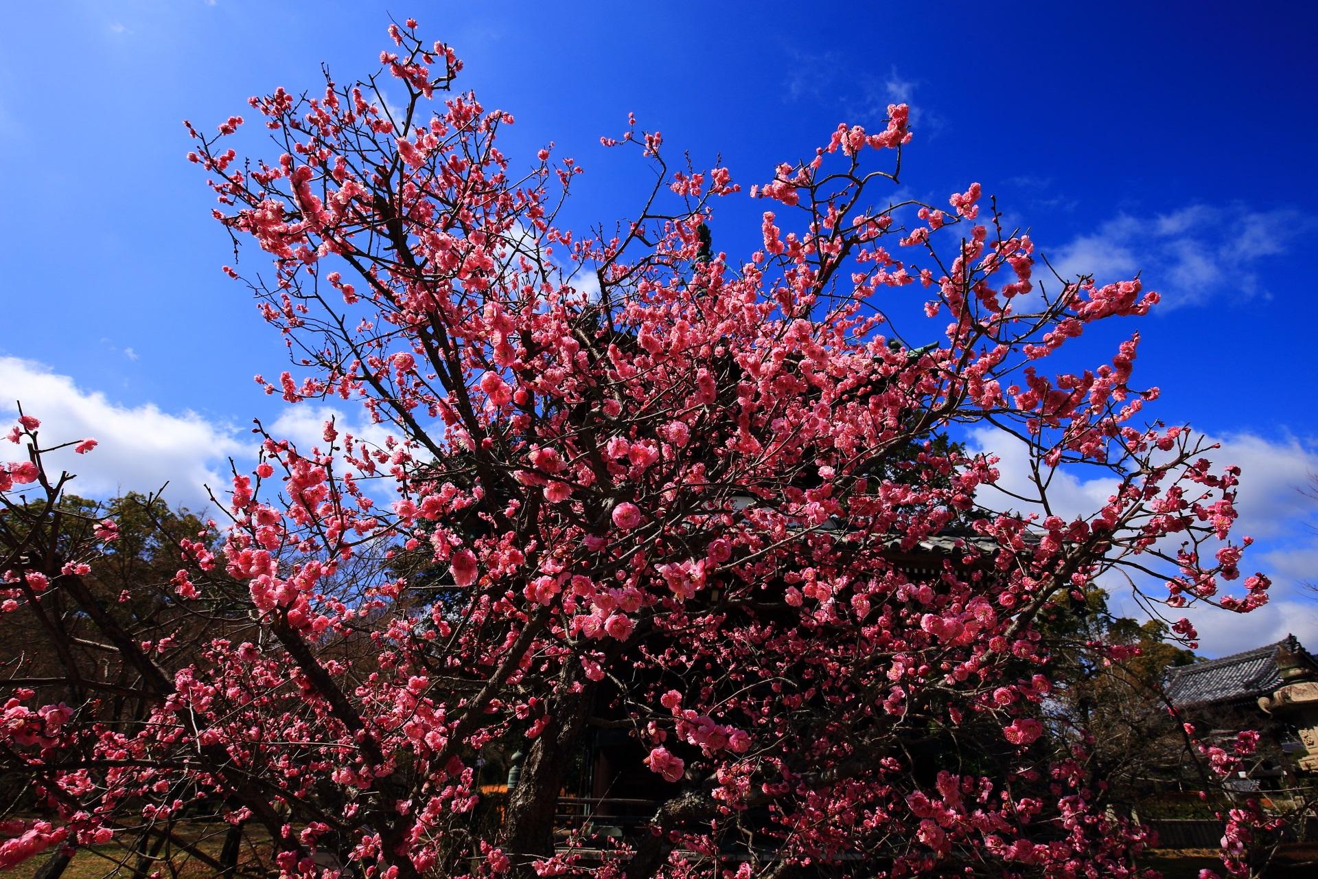 弾け飛びそうなくらい咲き乱れる煌くピンクの梅
