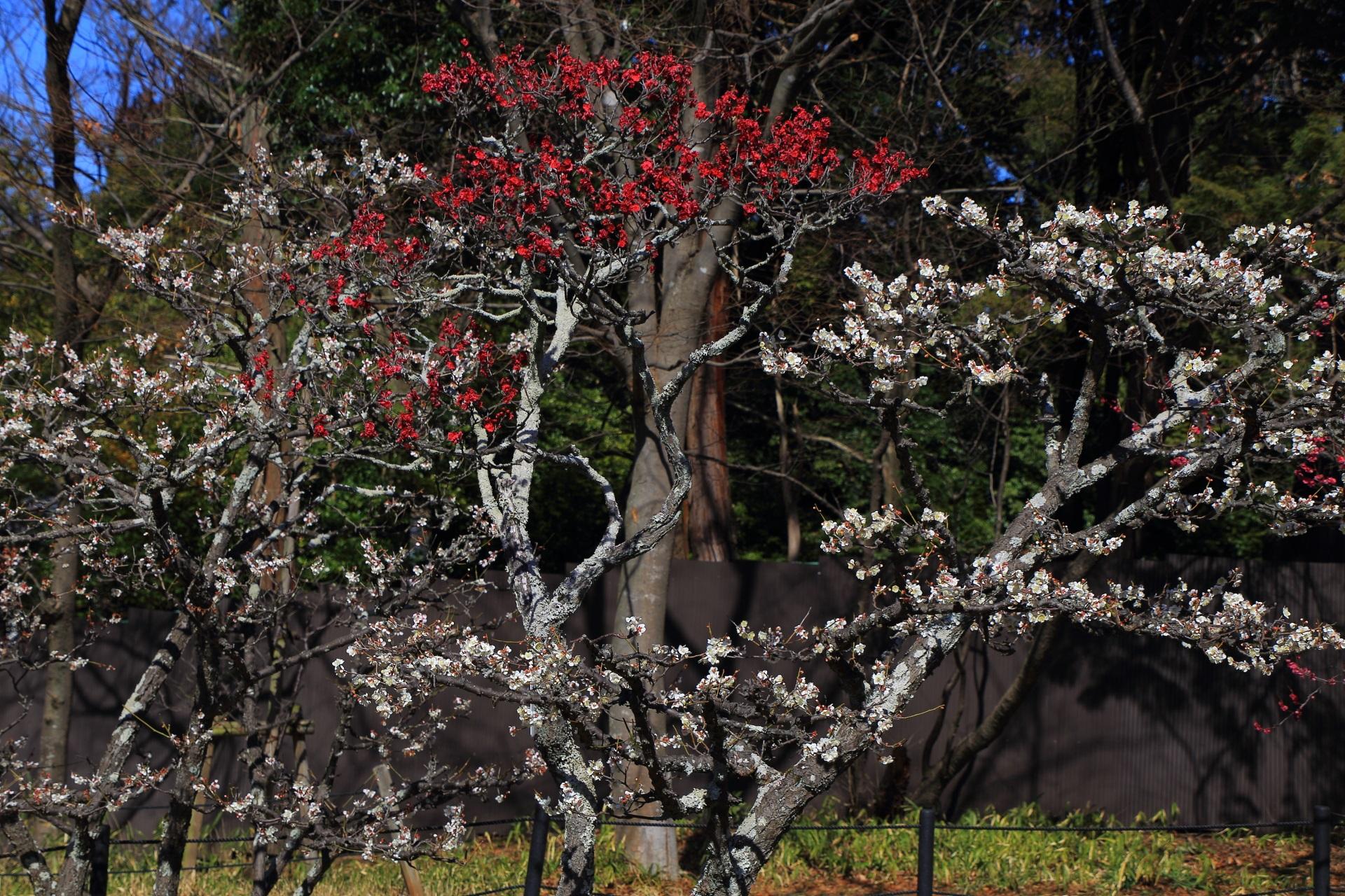 長岡天満宮の梅林に咲く鮮やかな紅い梅の花と華やかな白い梅の花