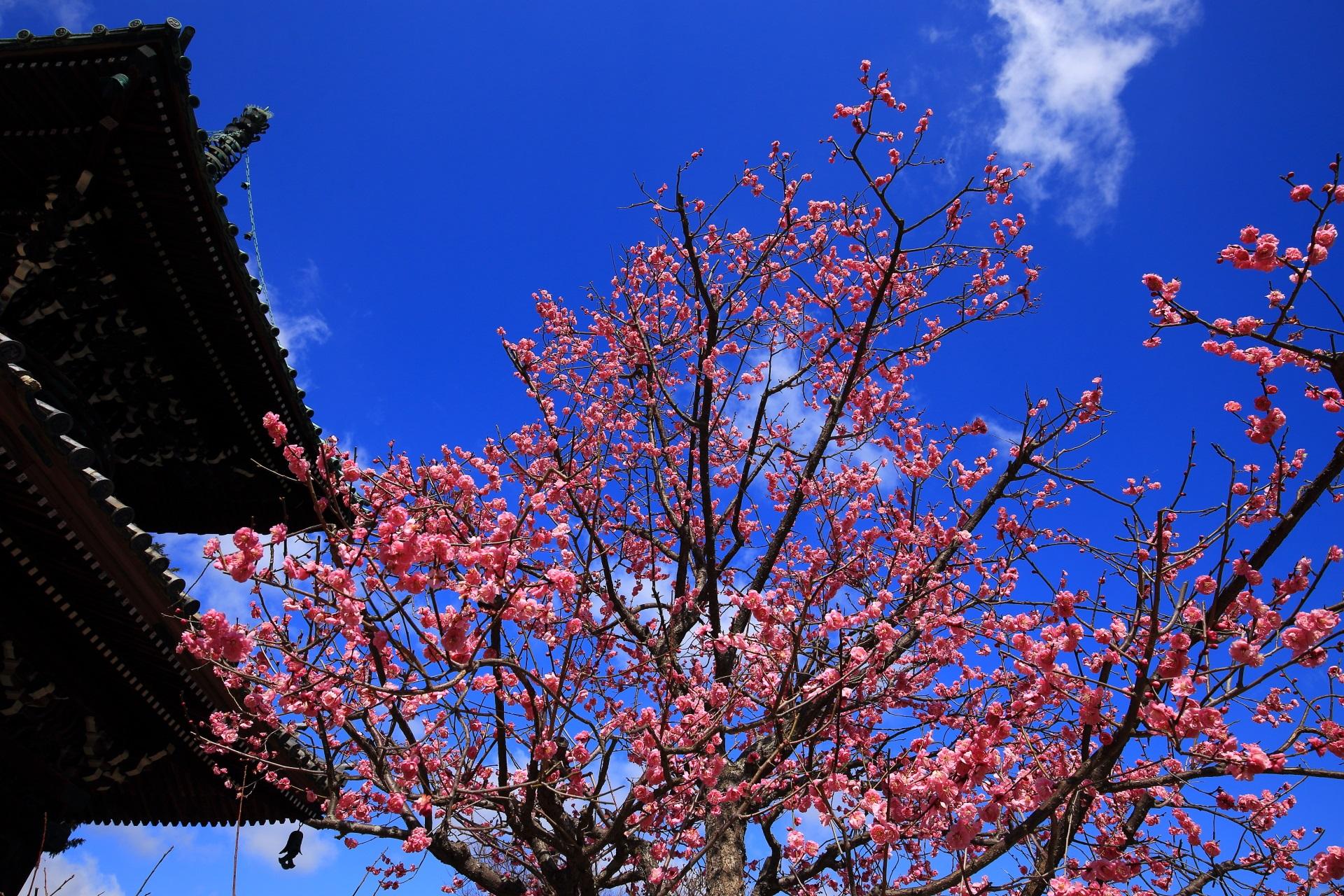 多宝塔と青空をピンクに彩る満開の梅の花
