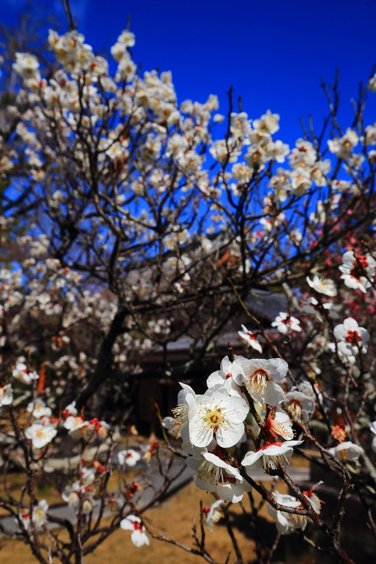 太陽を浴びて弾けんばかりに咲き誇る元気いっぱいの白梅