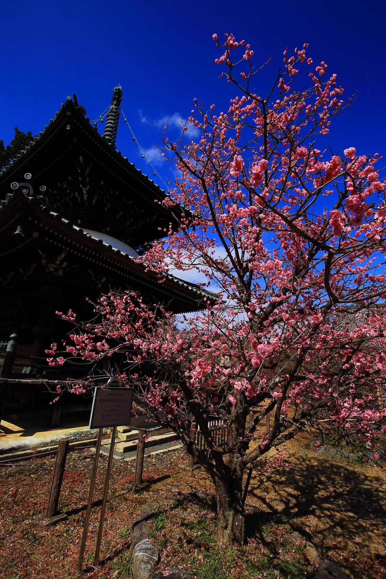 下から見上げた多宝塔と空を覆う満開の梅