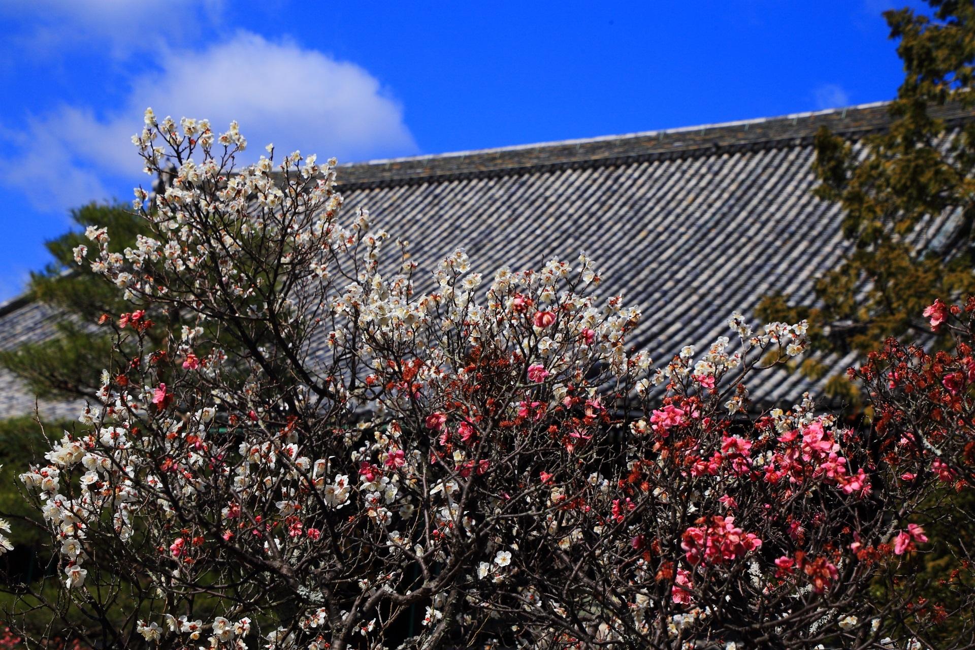 本堂を春色に彩る紅梅と白梅