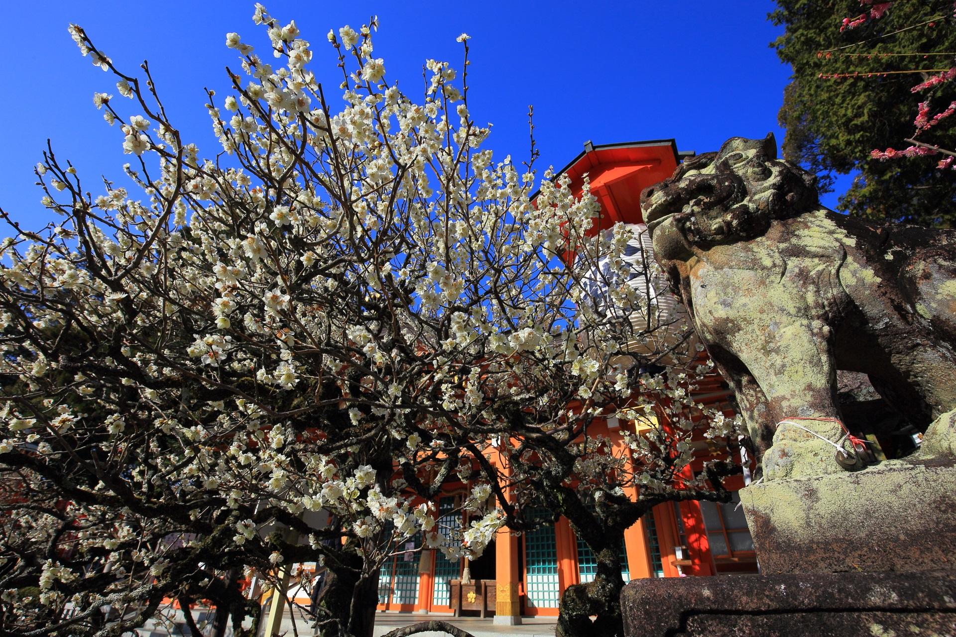春先の境内を華やぐ溢れる満開の梅の花