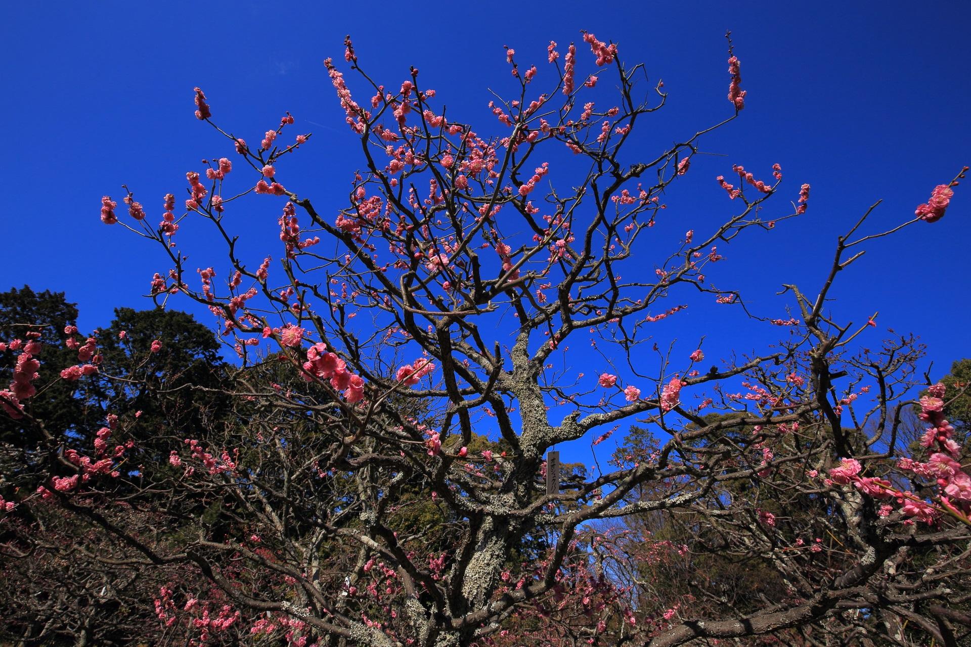華やぐ淡い色合いのピンクの梅の花