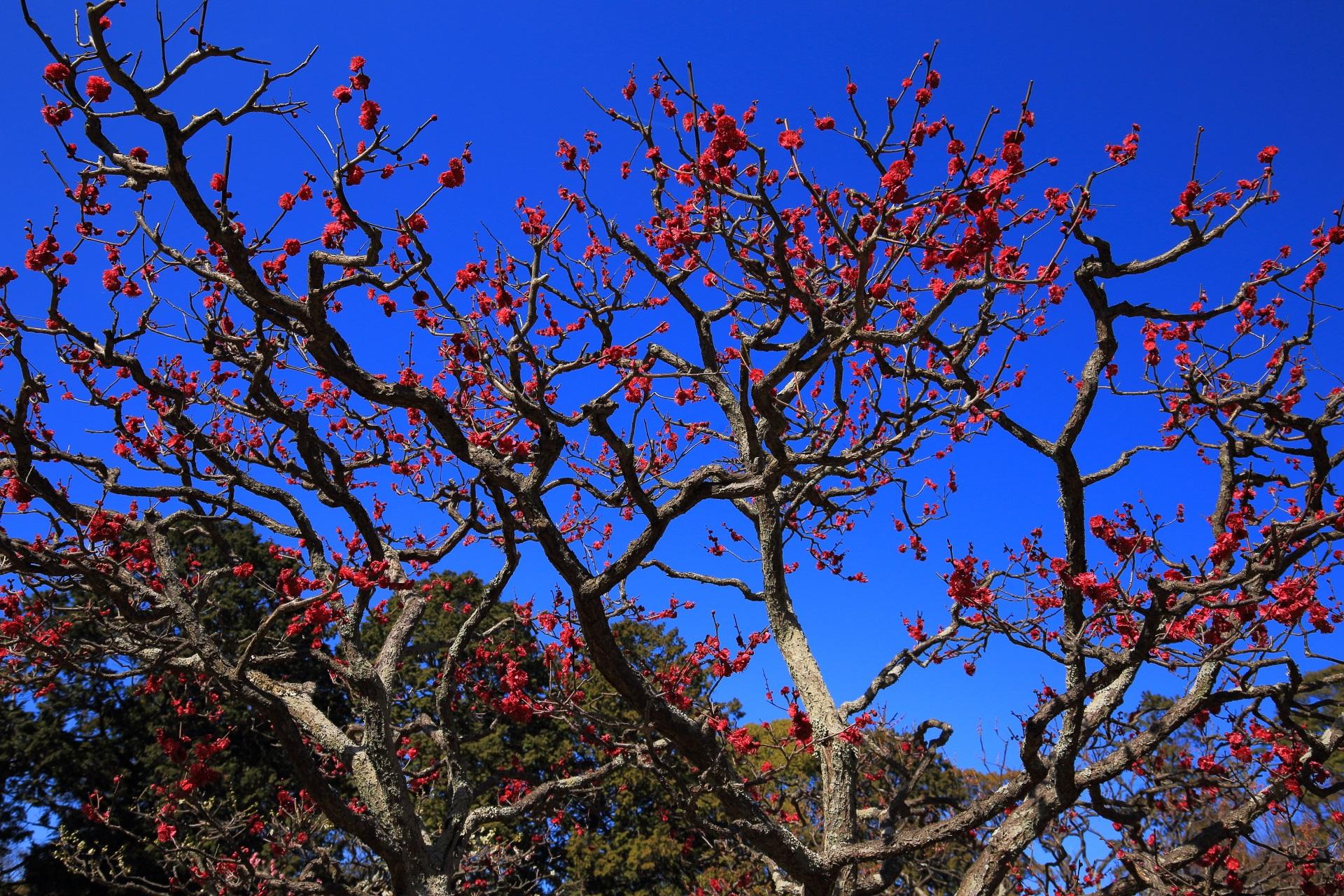 青空を鮮烈に彩る鮮やかな紅い梅の花