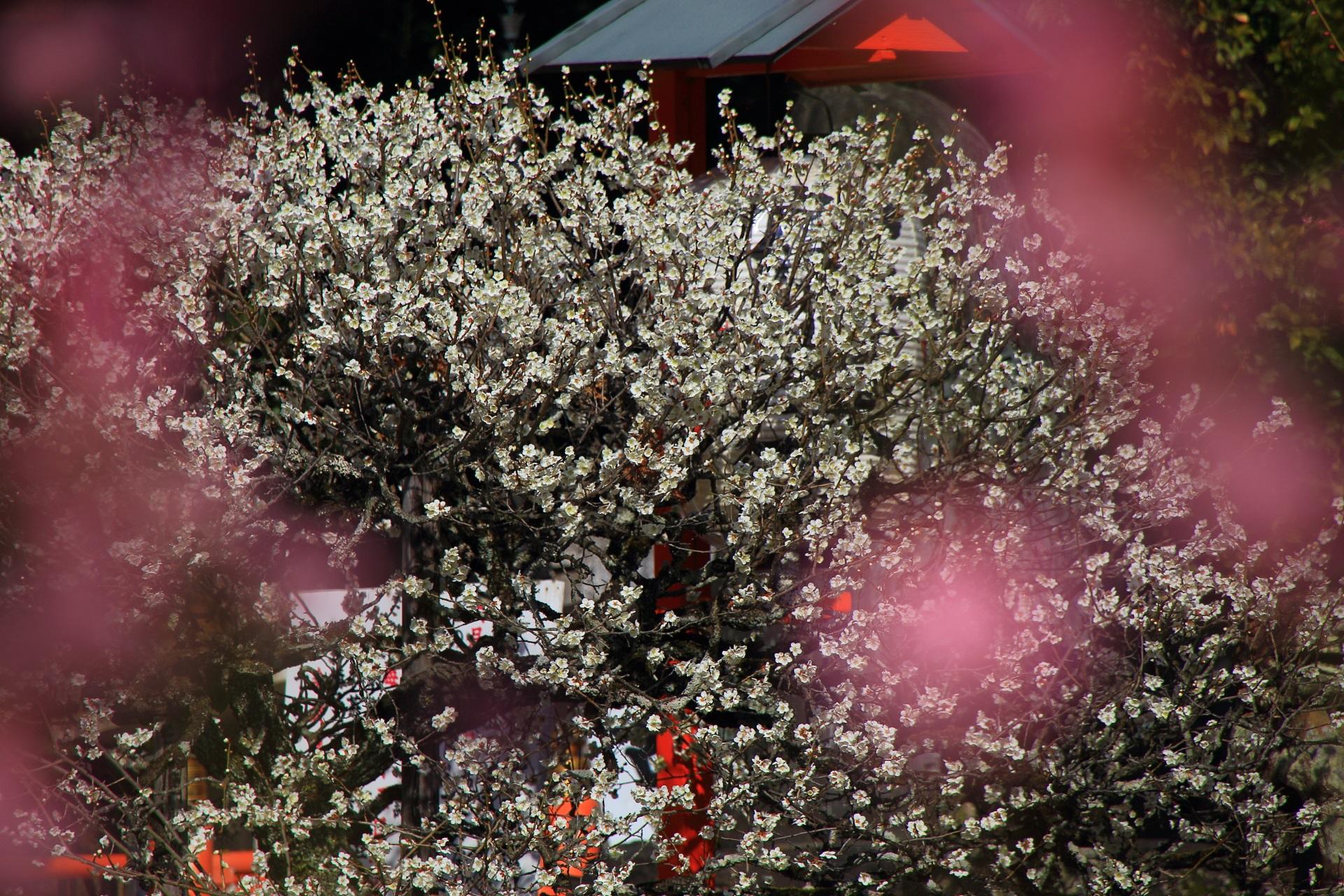 ピンクのしだれ梅越しに眺めた溢れんばかりに咲く白梅