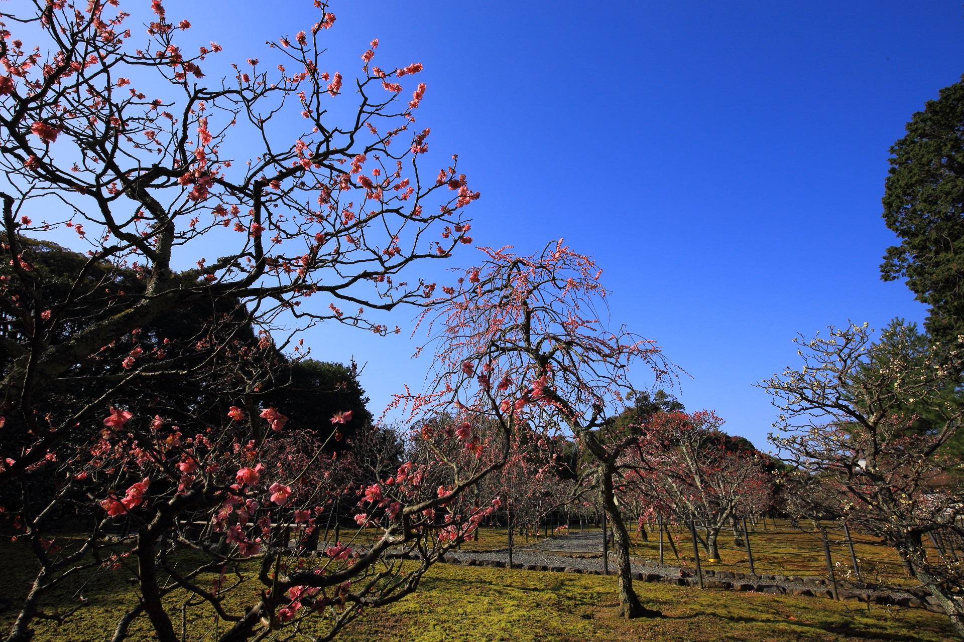 青空を芸術的に彩る梅の枝と花