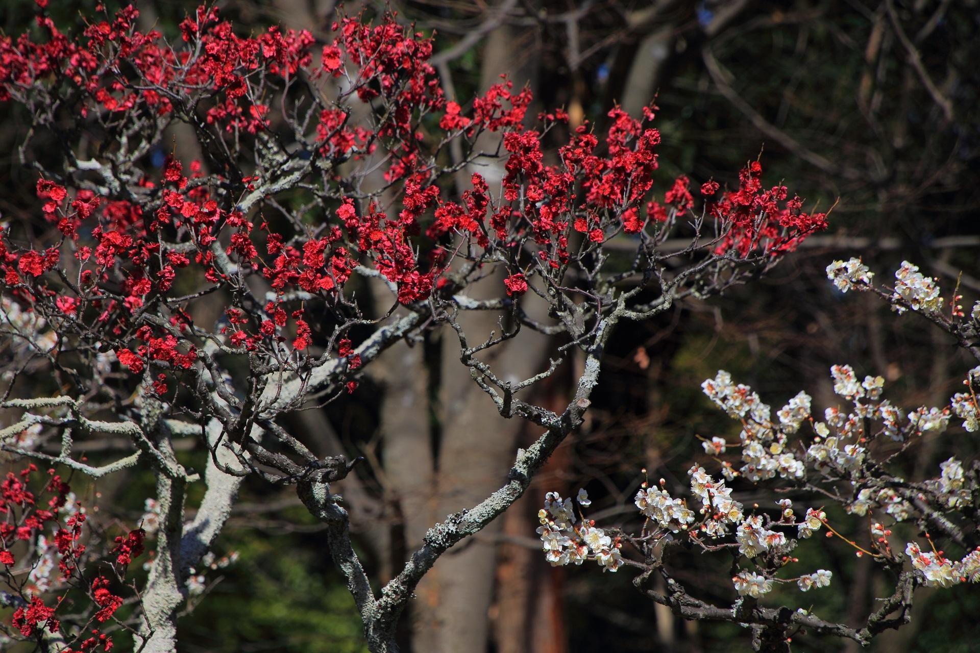 長岡天満宮の春を彩る煌く赤と輝く白