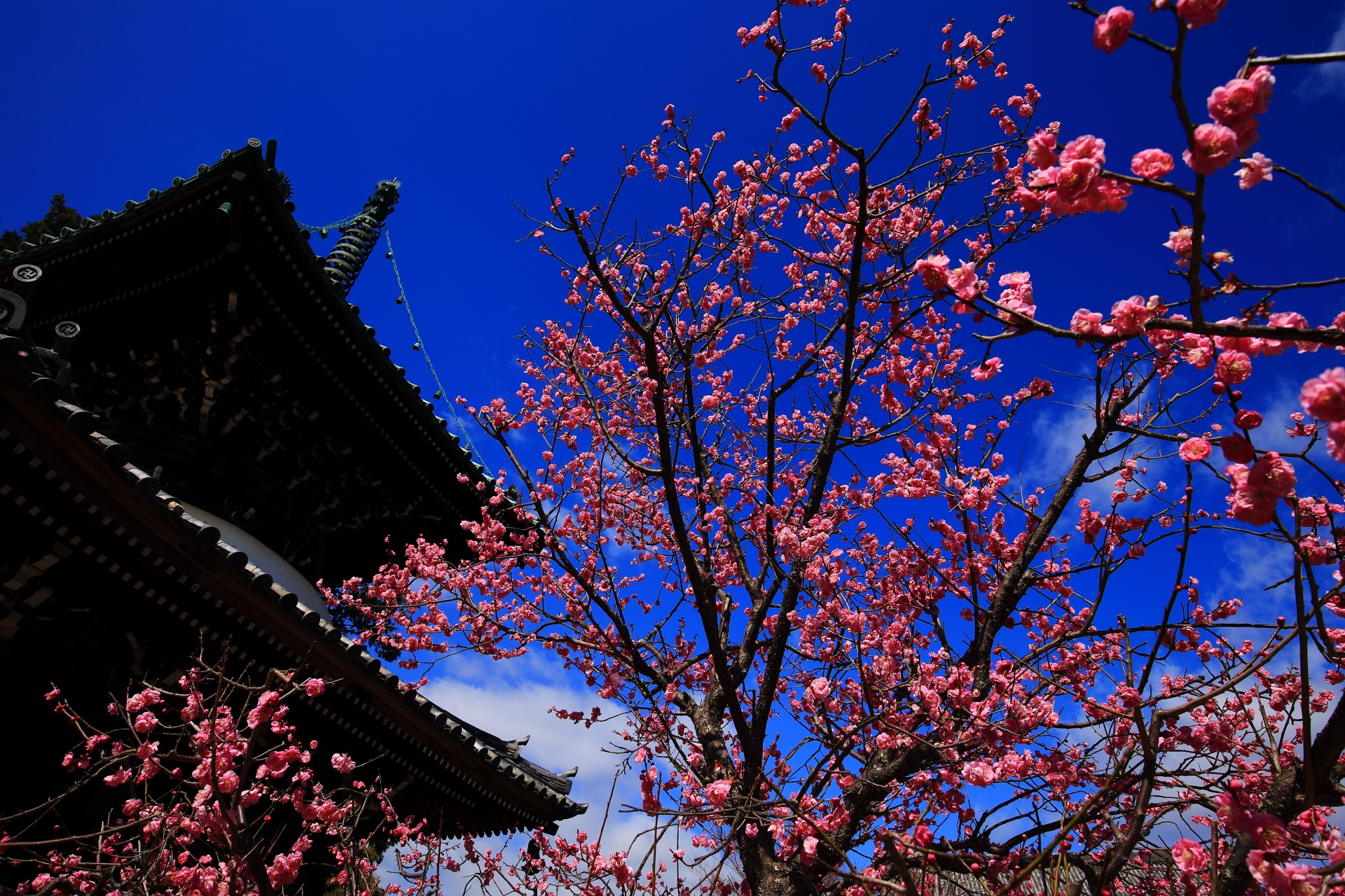 煌びやかな梅の花につつまれた春先の清涼寺