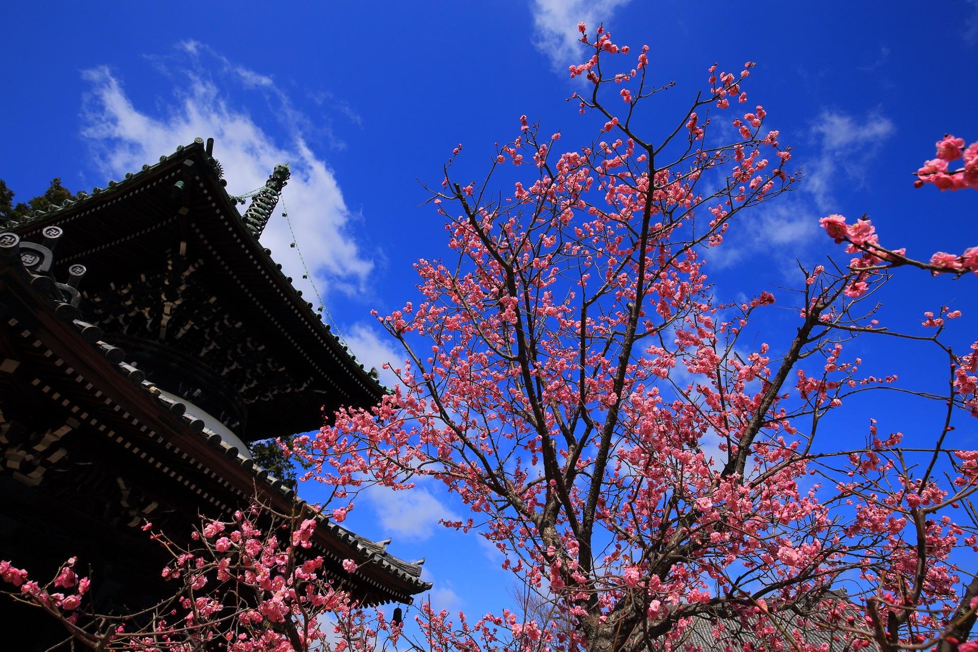 やっぱり青空が良く合う見上げる梅