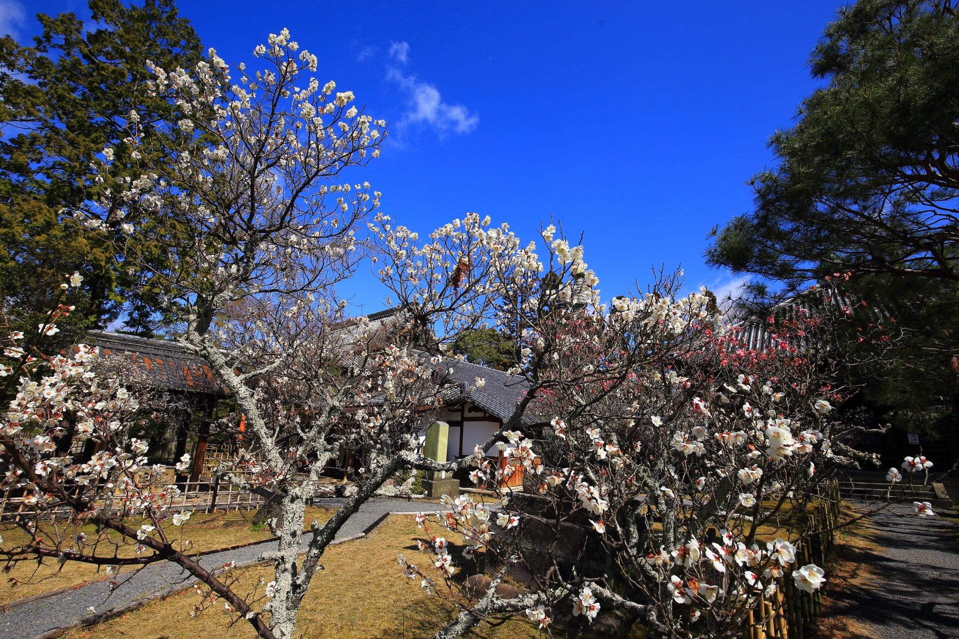 ゆどうふをはじめとする京料理店の竹仙(ちくせん)付近の綺麗な梅