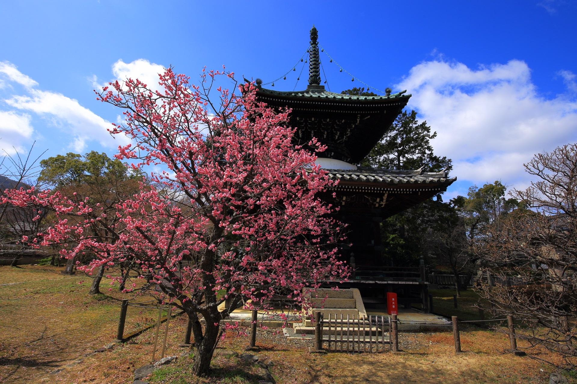清涼寺の多宝塔と梅の絵になる春先の風景