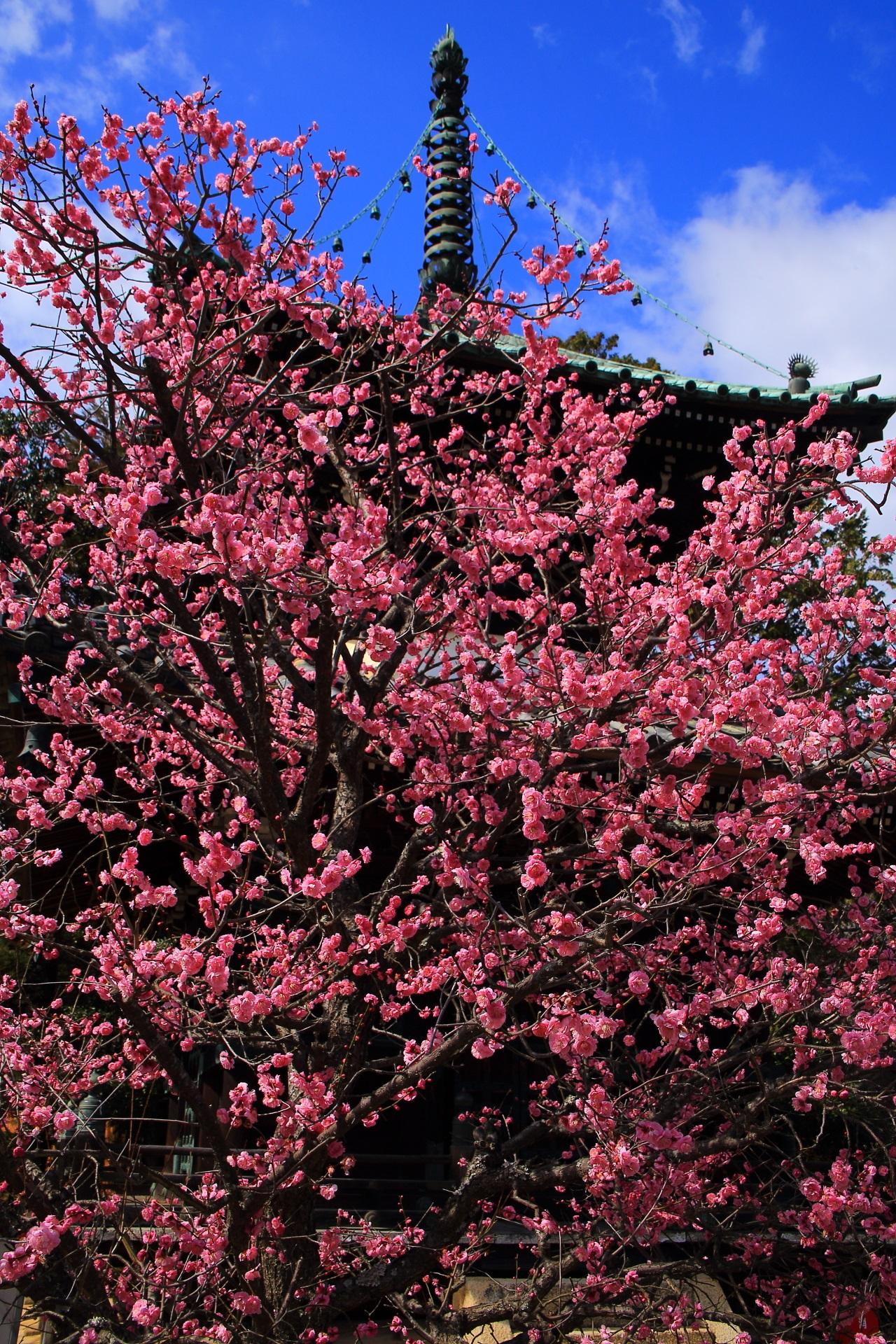 多宝塔をつつむ豪快に咲き誇る凄すぎる梅