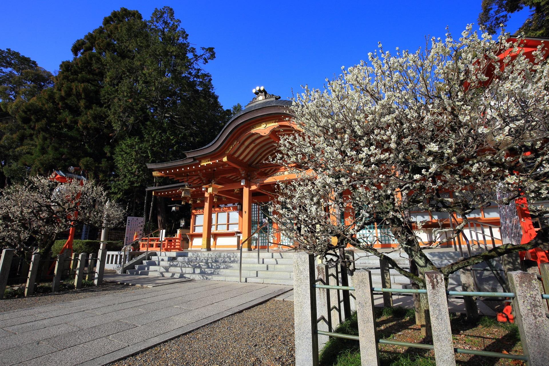 豪快に咲く本殿に向かって右側の梅