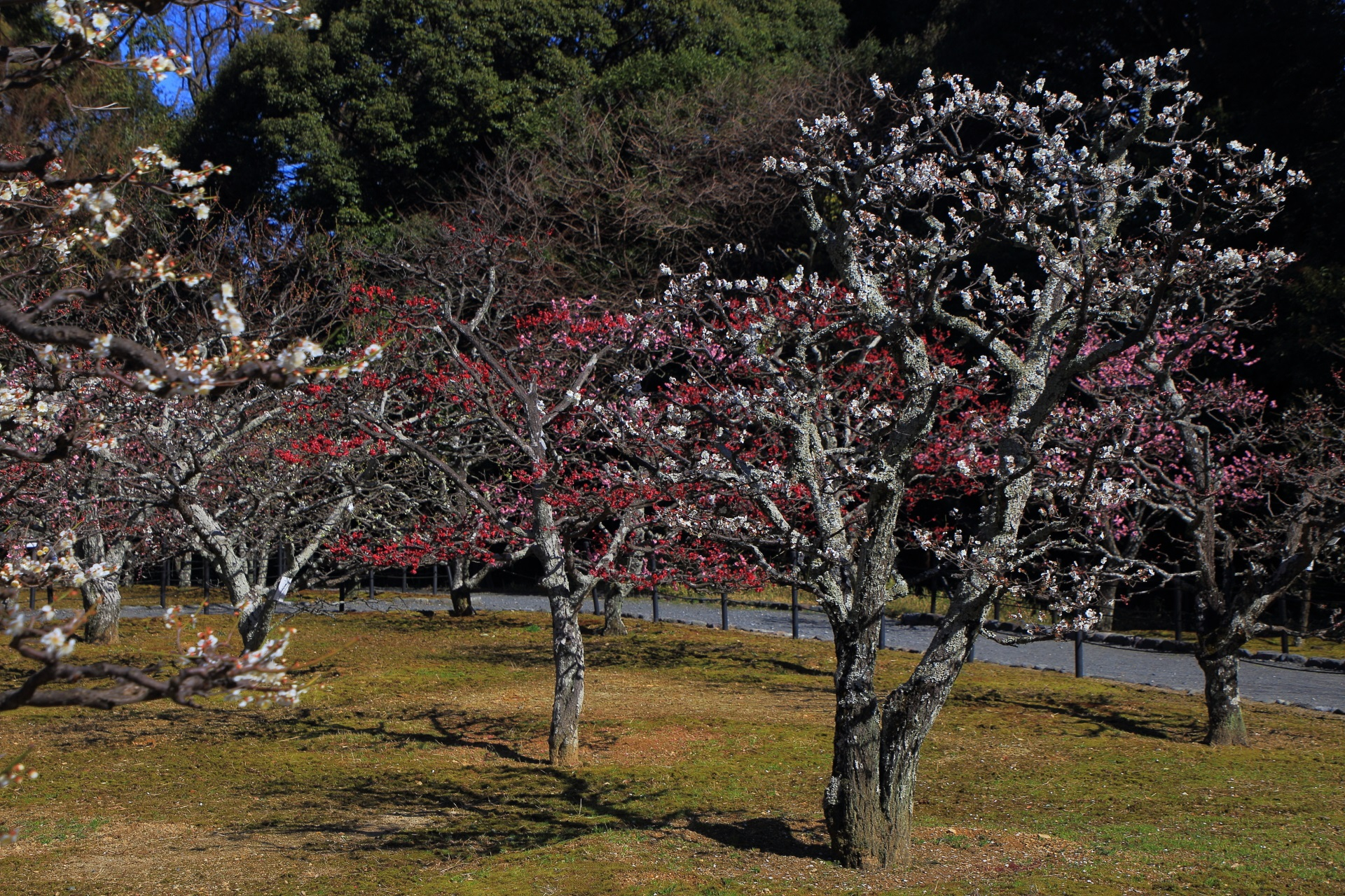 長岡天満宮の本殿の奥の方にある長岡公園の梅林