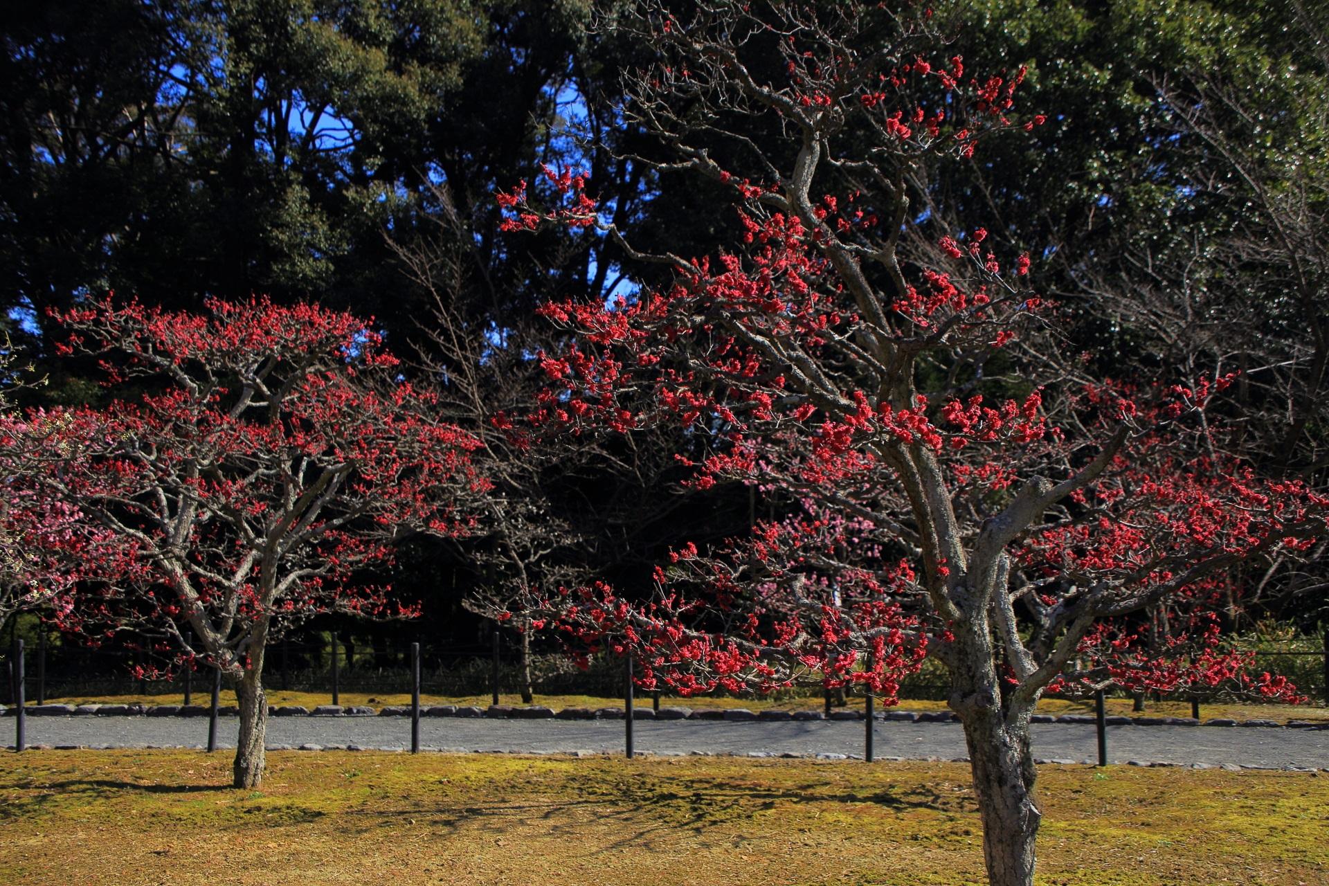 濃いビビッドな色合いの煌びやかな紅梅