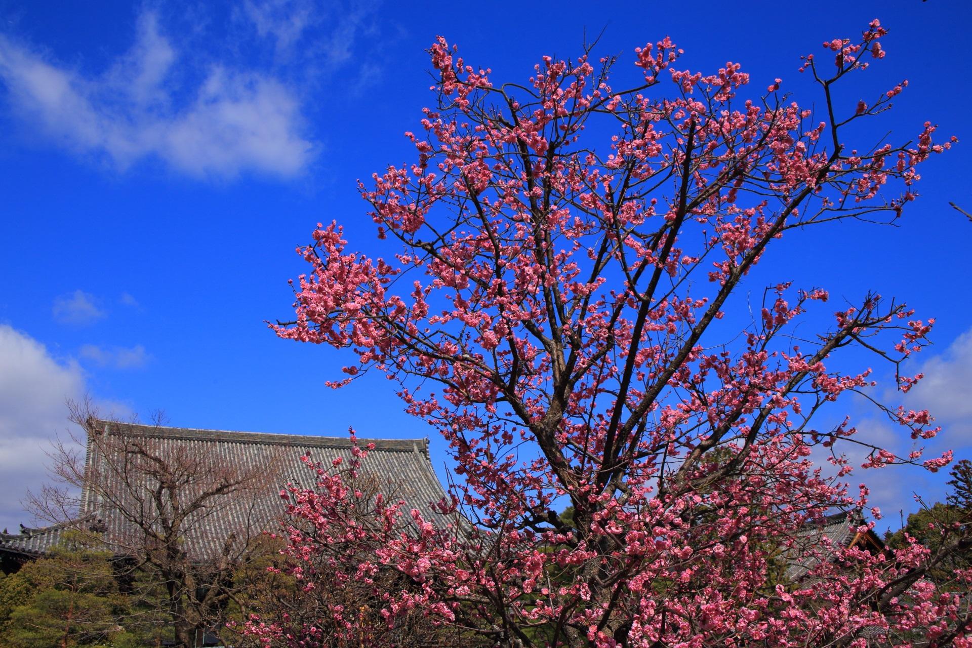 清涼寺の大きな本堂を鮮やかに染めるピンクの梅