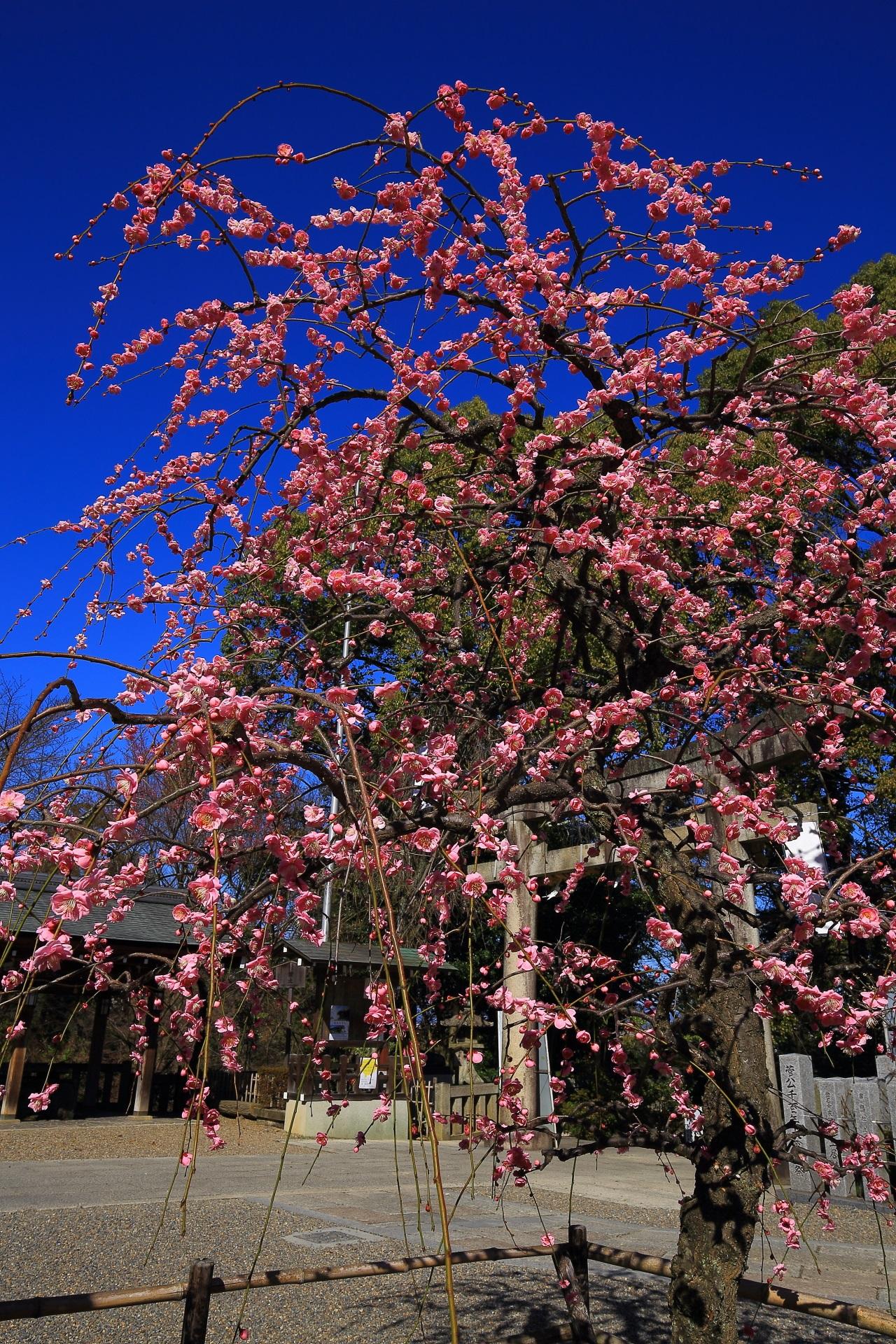 太陽を浴びて輝く見事なピンクのしだれ梅