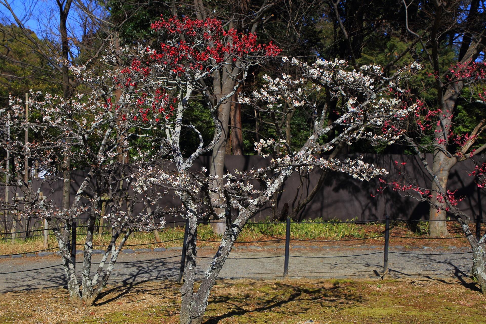 一本の木に紅白の花が咲く「咲き分け」の梅